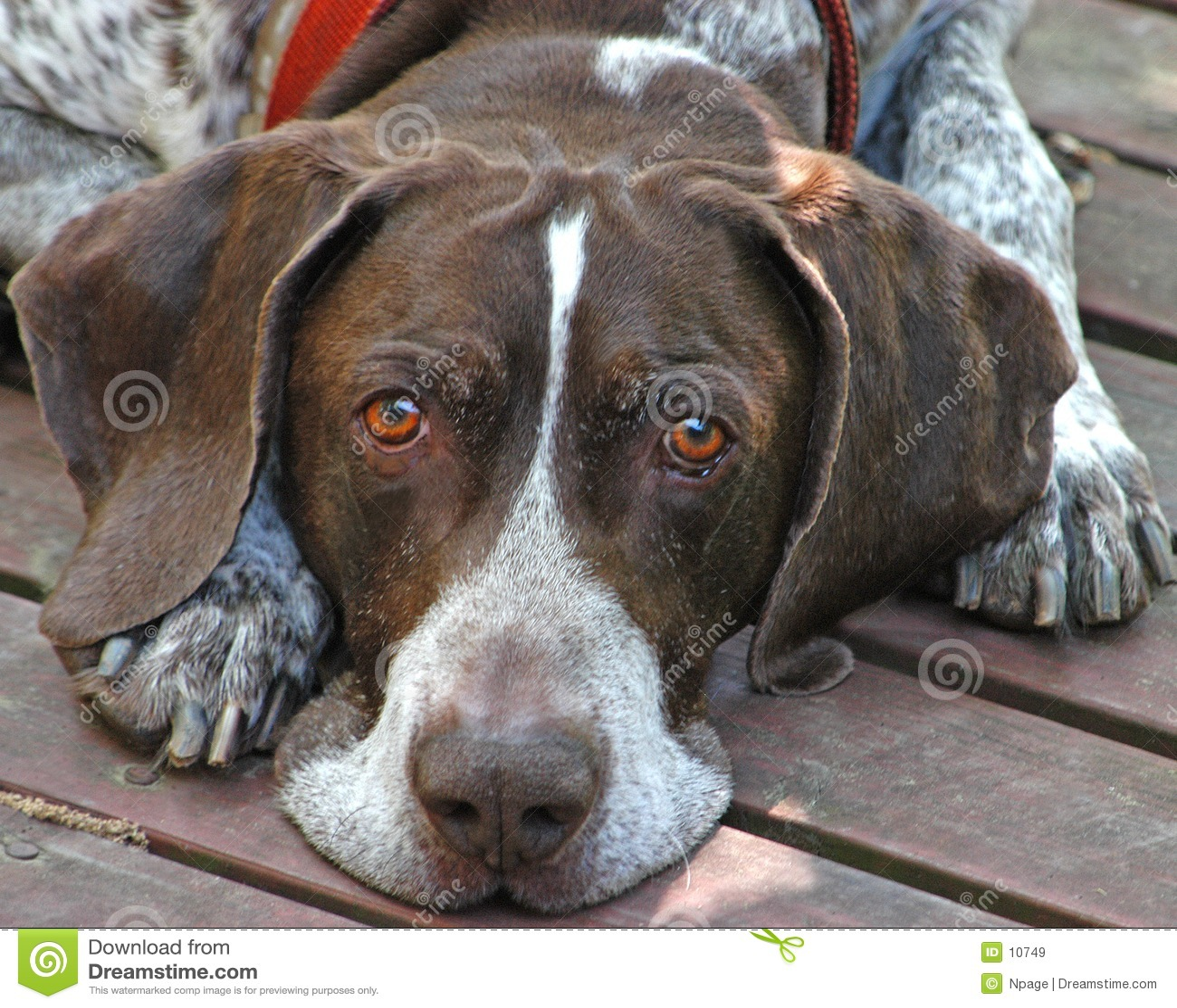 Cão de caça