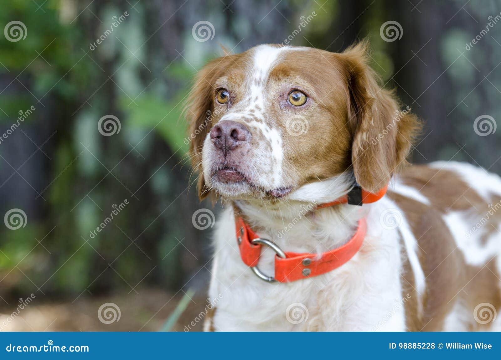 Cão de caça de Brittany Spaniel com o colar de seguimento alaranjado da segurança