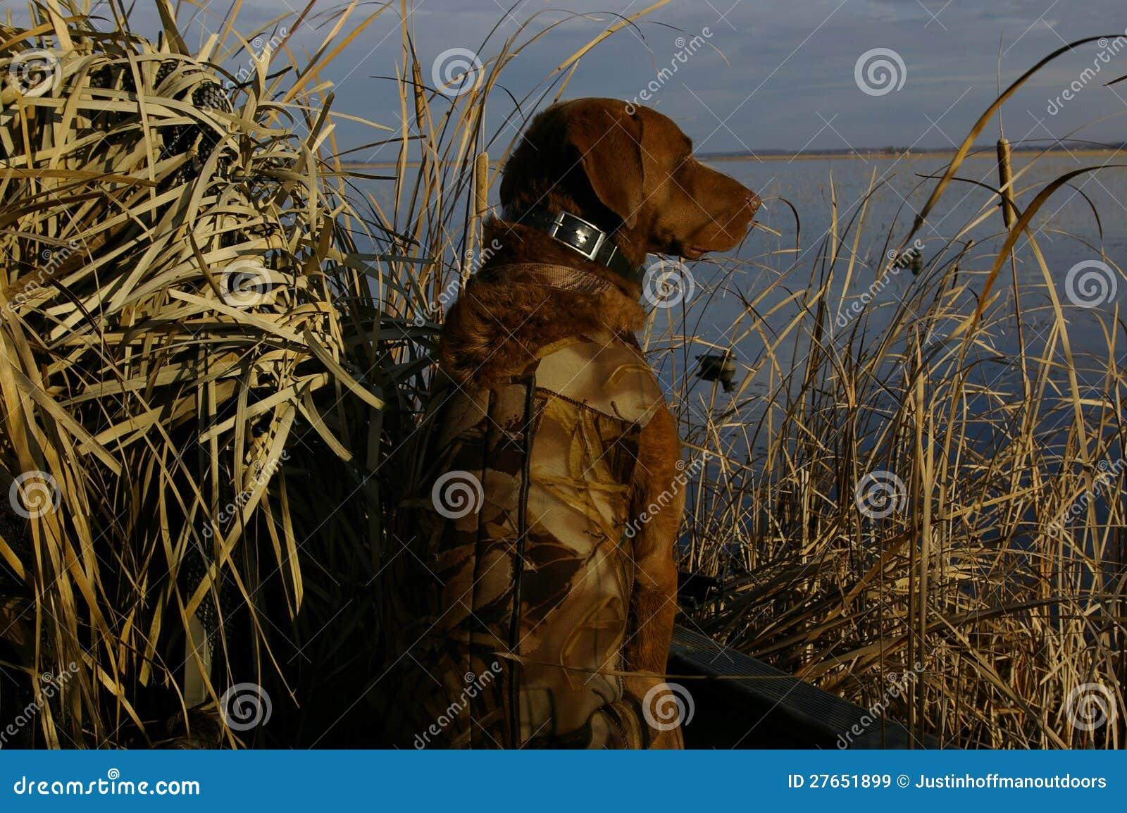Cão de caça do pato