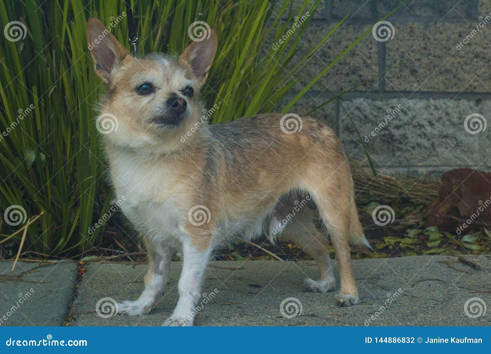 Cão de cabelo da chihuahua do fio pequeno que olha direito