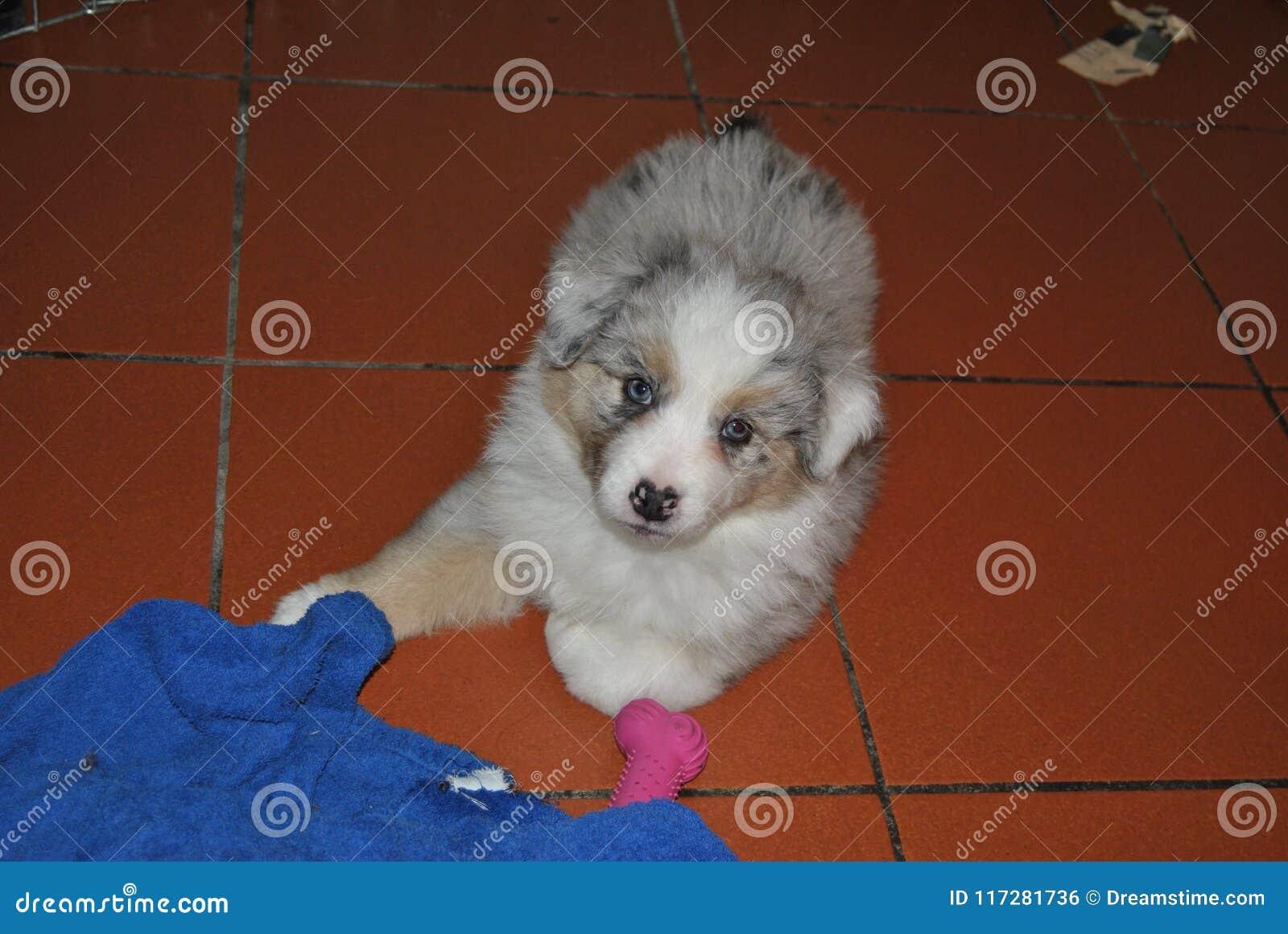 Cão de cachorrinho A