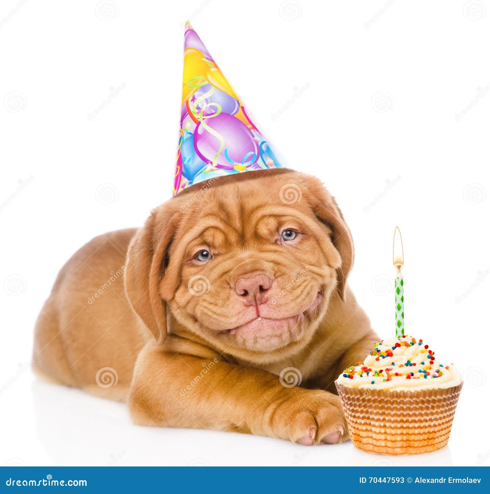 Cão de cachorrinho de sorriso feliz do Bordéus com chapéu e bolo do aniversário Isolado