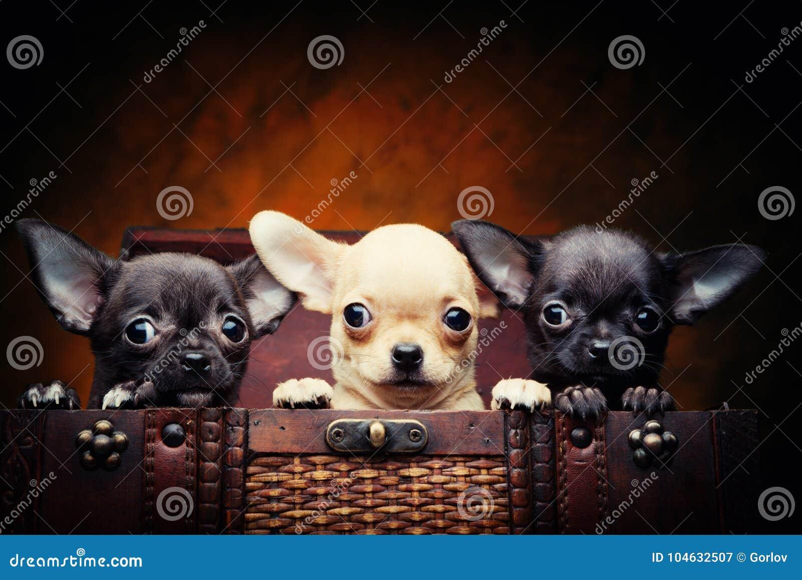 Cão de cachorrinho do bebê da chihuahua na qualidade do estúdio