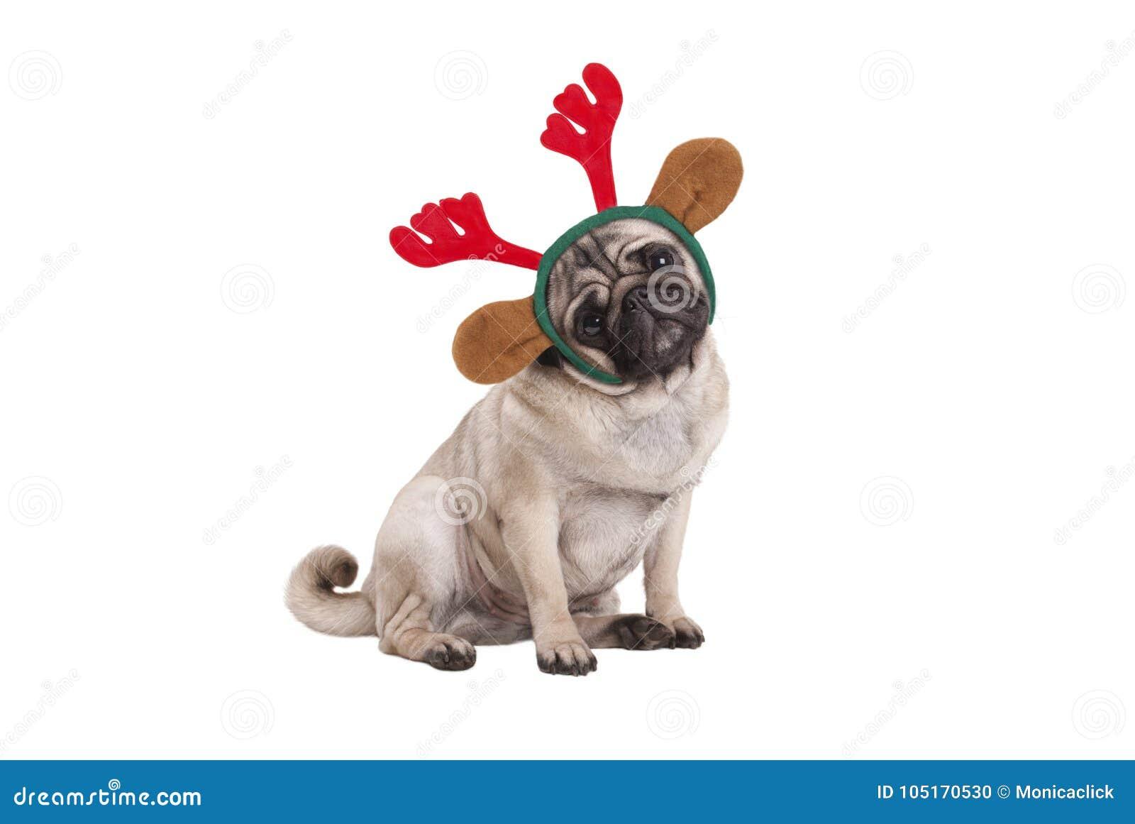 Cão de cachorrinho engraçado do pug do Natal que senta-se para baixo, diadema vestindo dos chifres da rena