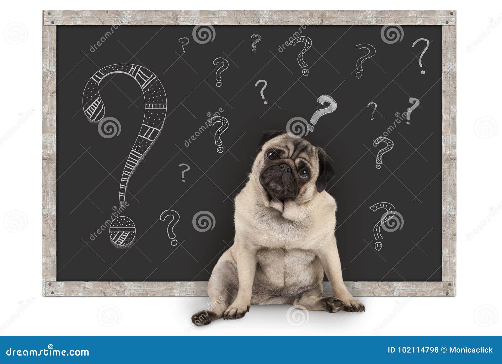 Cão de cachorrinho esperto bonito do pug que senta-se na frente do quadro-negro com pontos de interrogação do giz