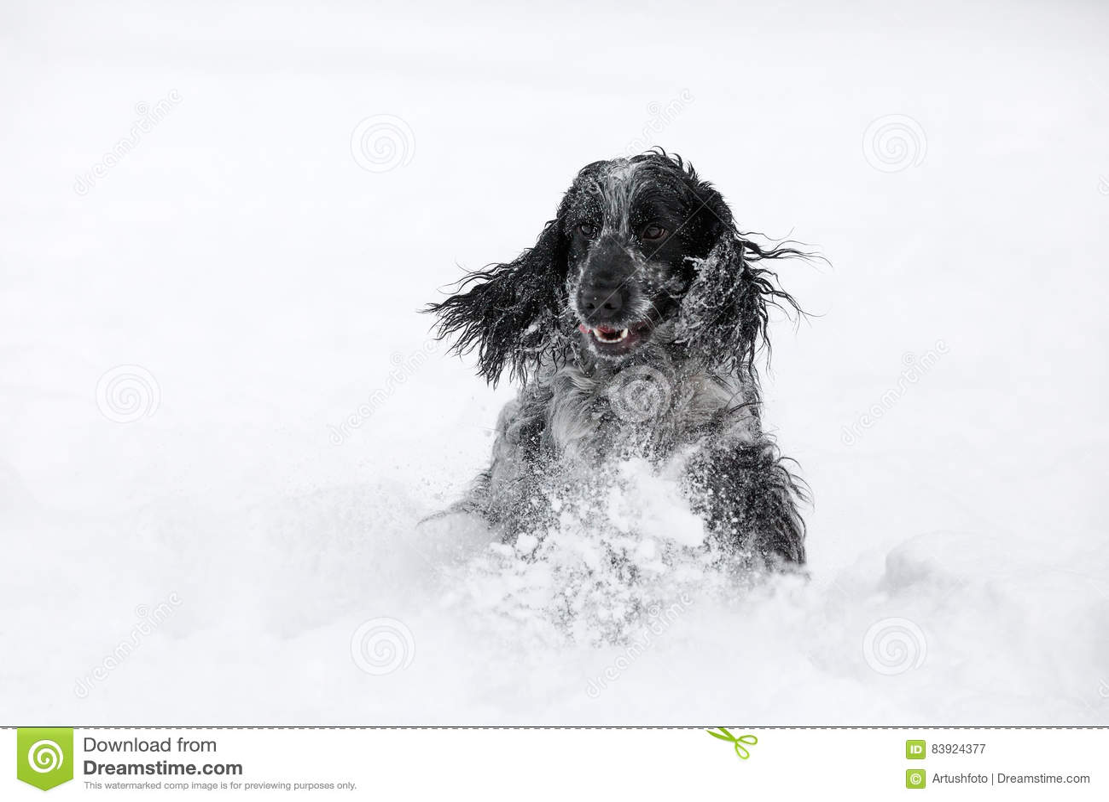 Cão de cocker spaniel do inglês que joga no inverno da neve