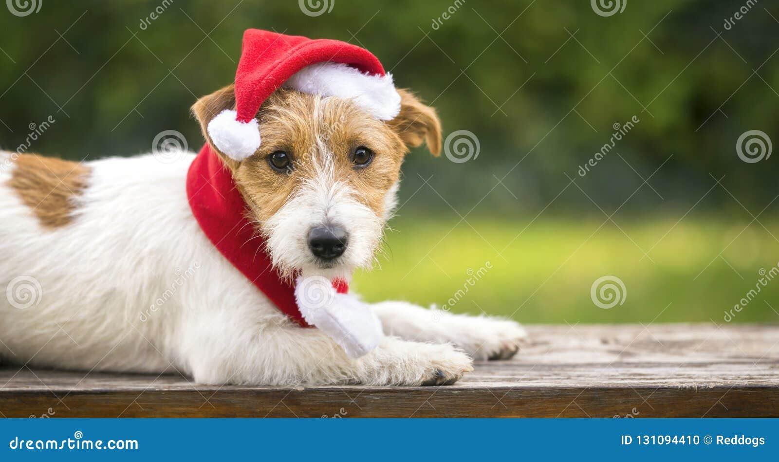 Cão de estimação bonito do Natal com chapéu de Santa Claus