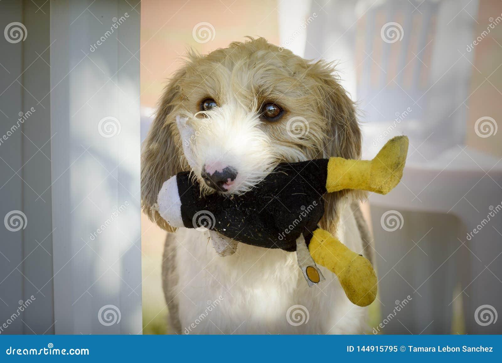 Cão de Griffon com seu brinquedo em sua boca