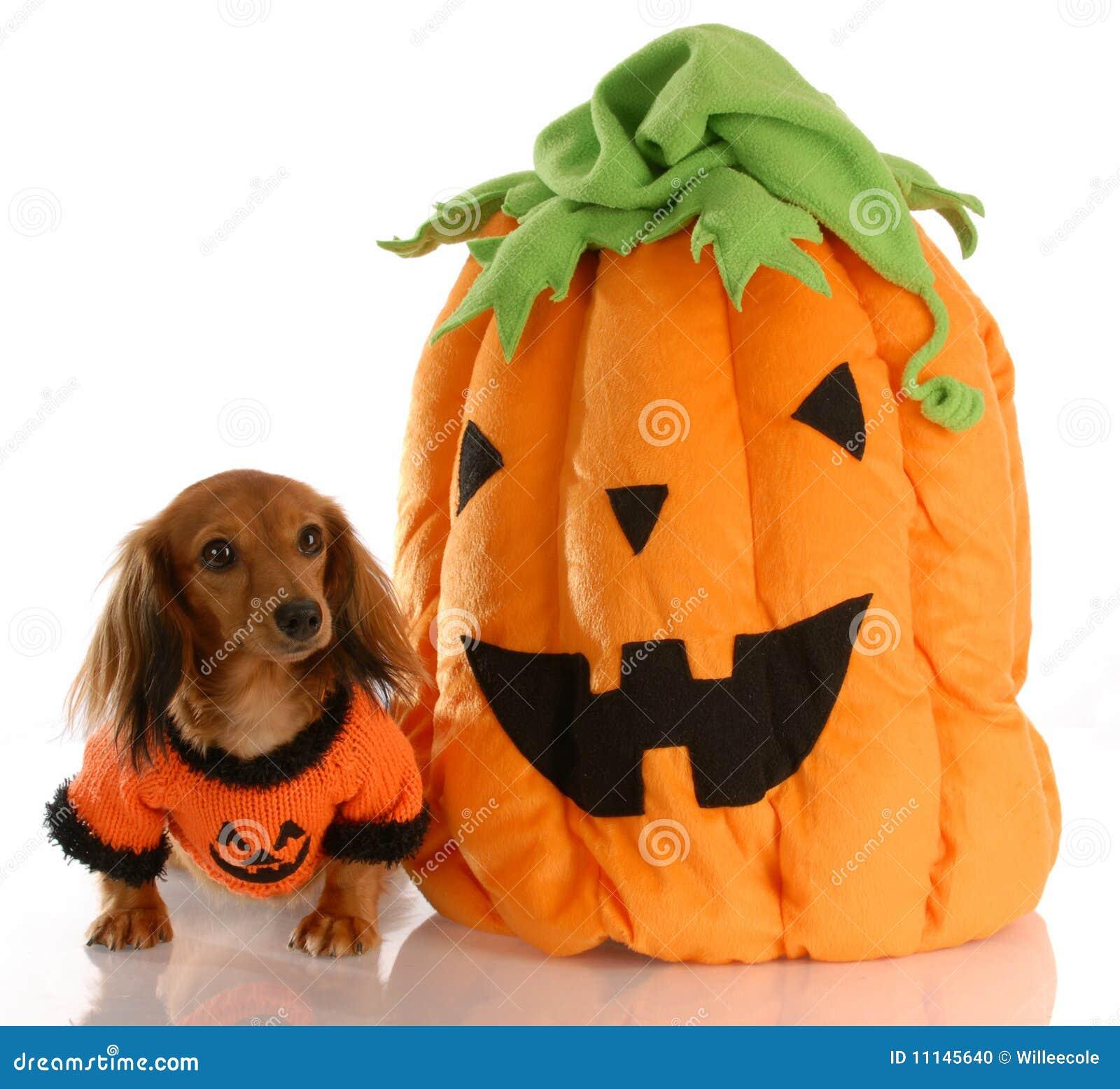 Cão de Halloween com abóbora