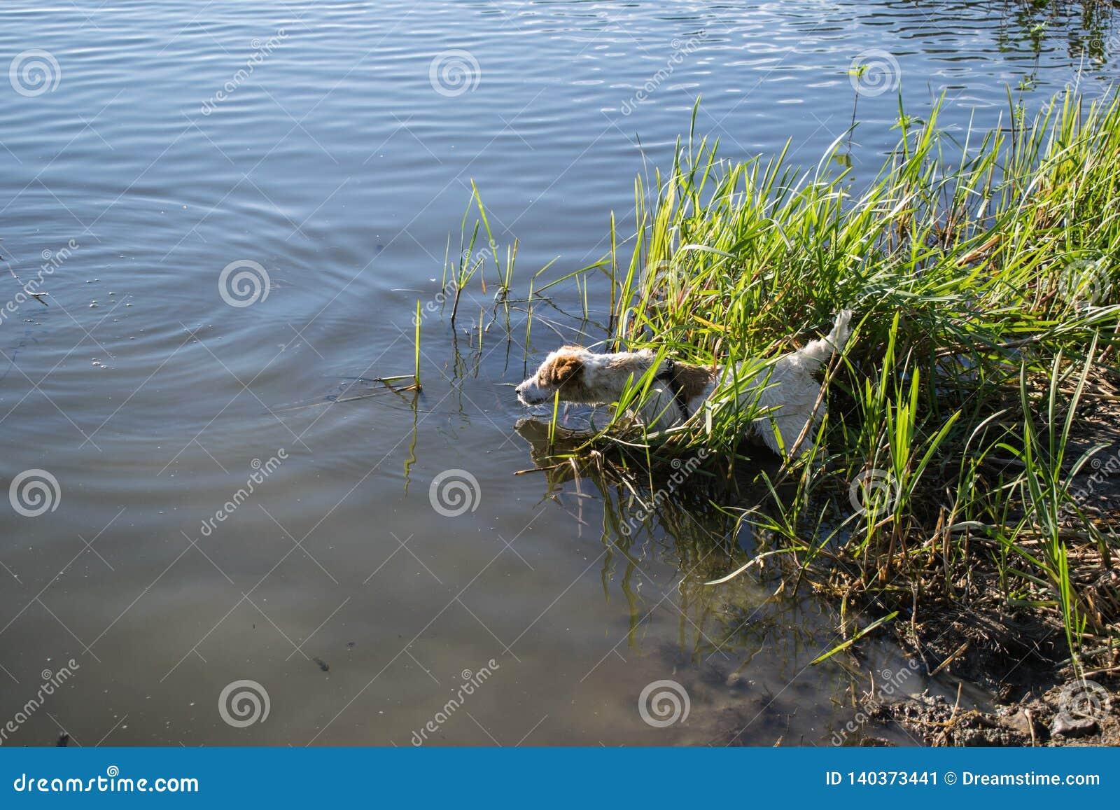 Cão de Jack Russell Terrier que joga na água, verão, lago