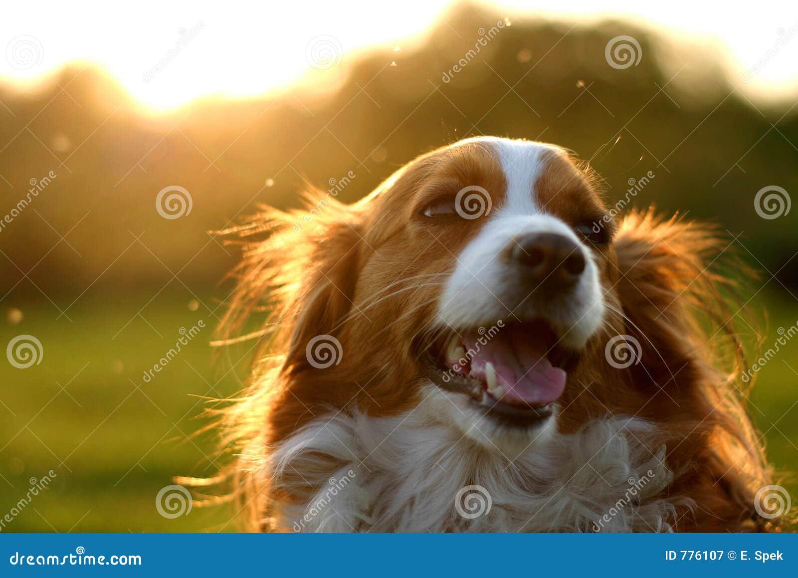 Cão de Kooijker com por do sol
