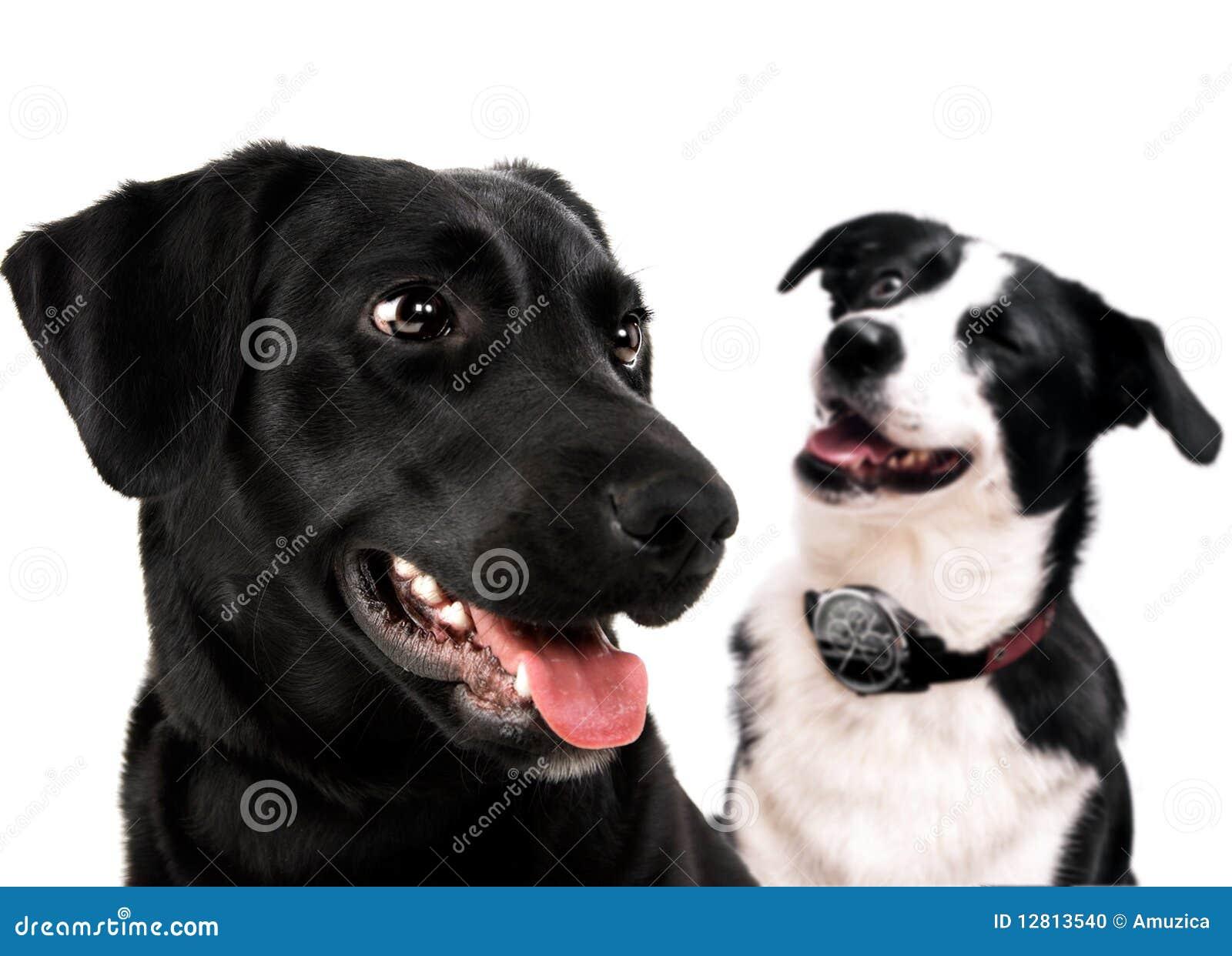 Cão de Labrador e collie de beira