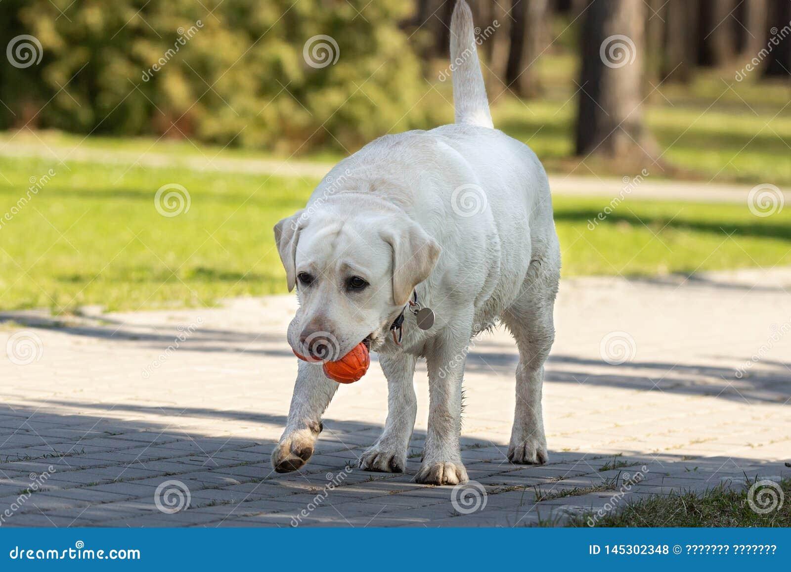 Cão de labrador retriever com bola