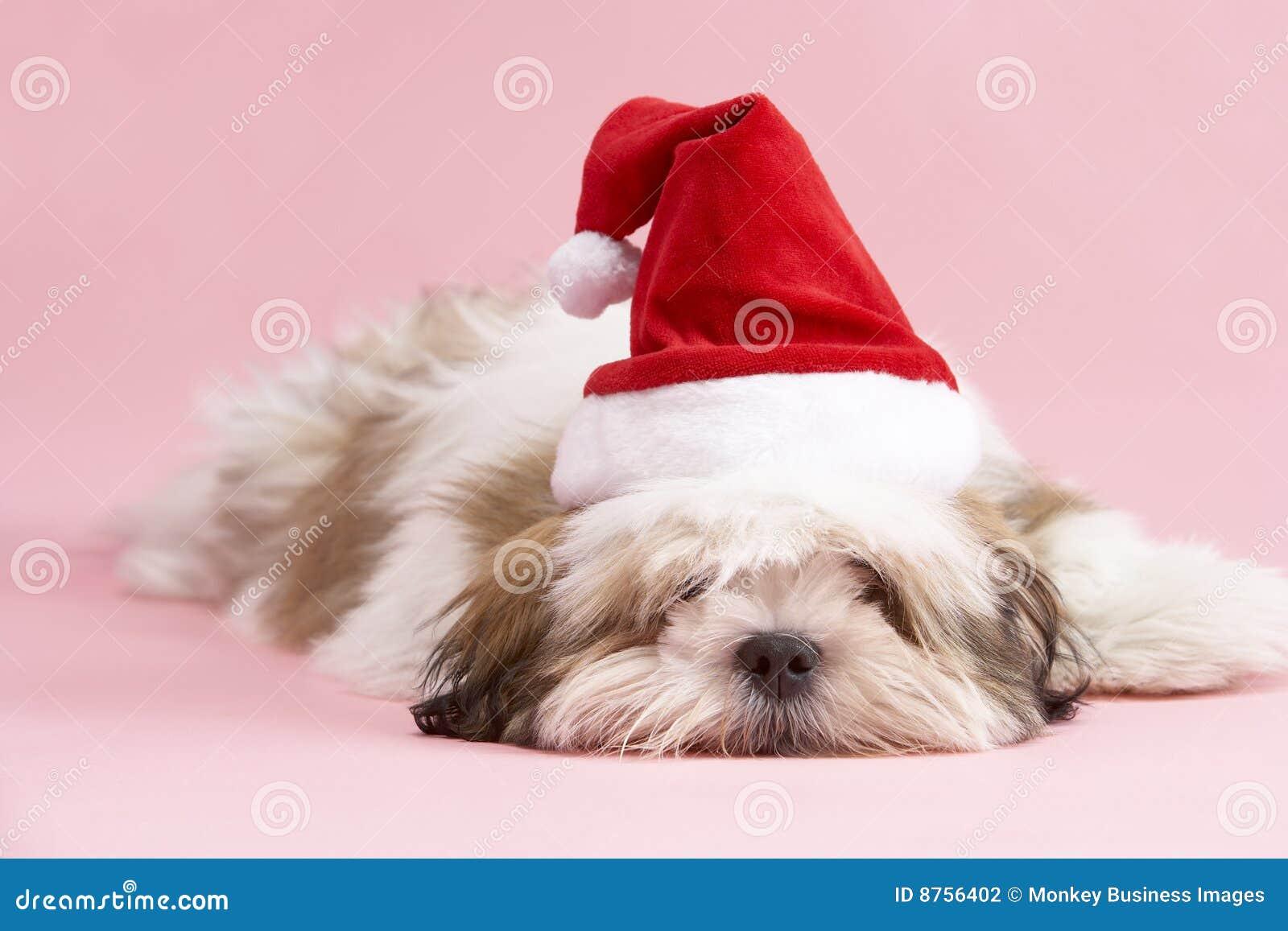 Cão de Lhasa Apso que desgasta o chapéu de Santa