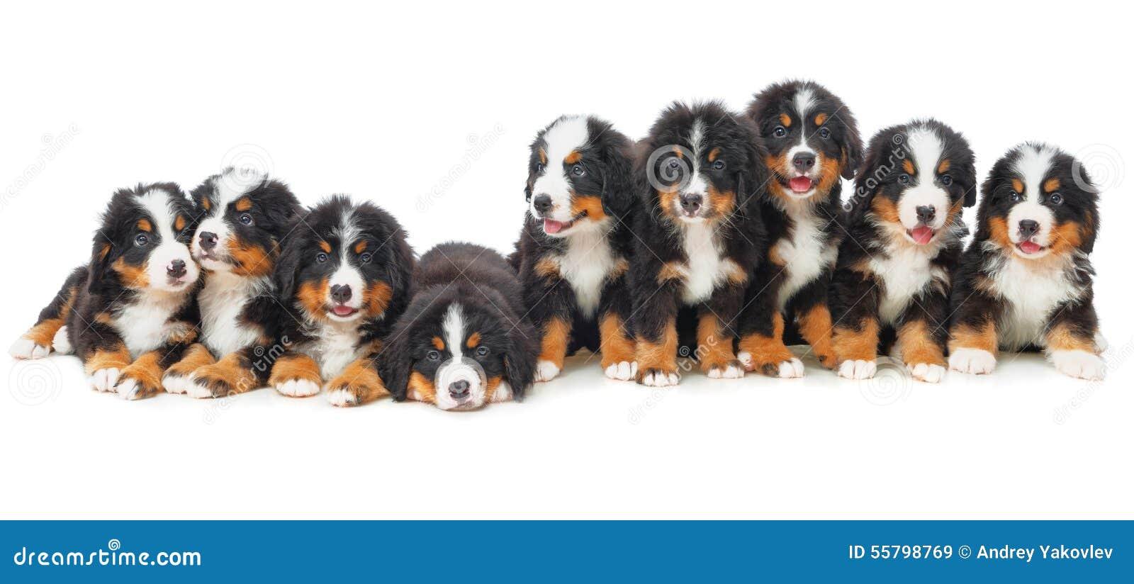 Cão de montanha de Bernese de nove cachorrinhos