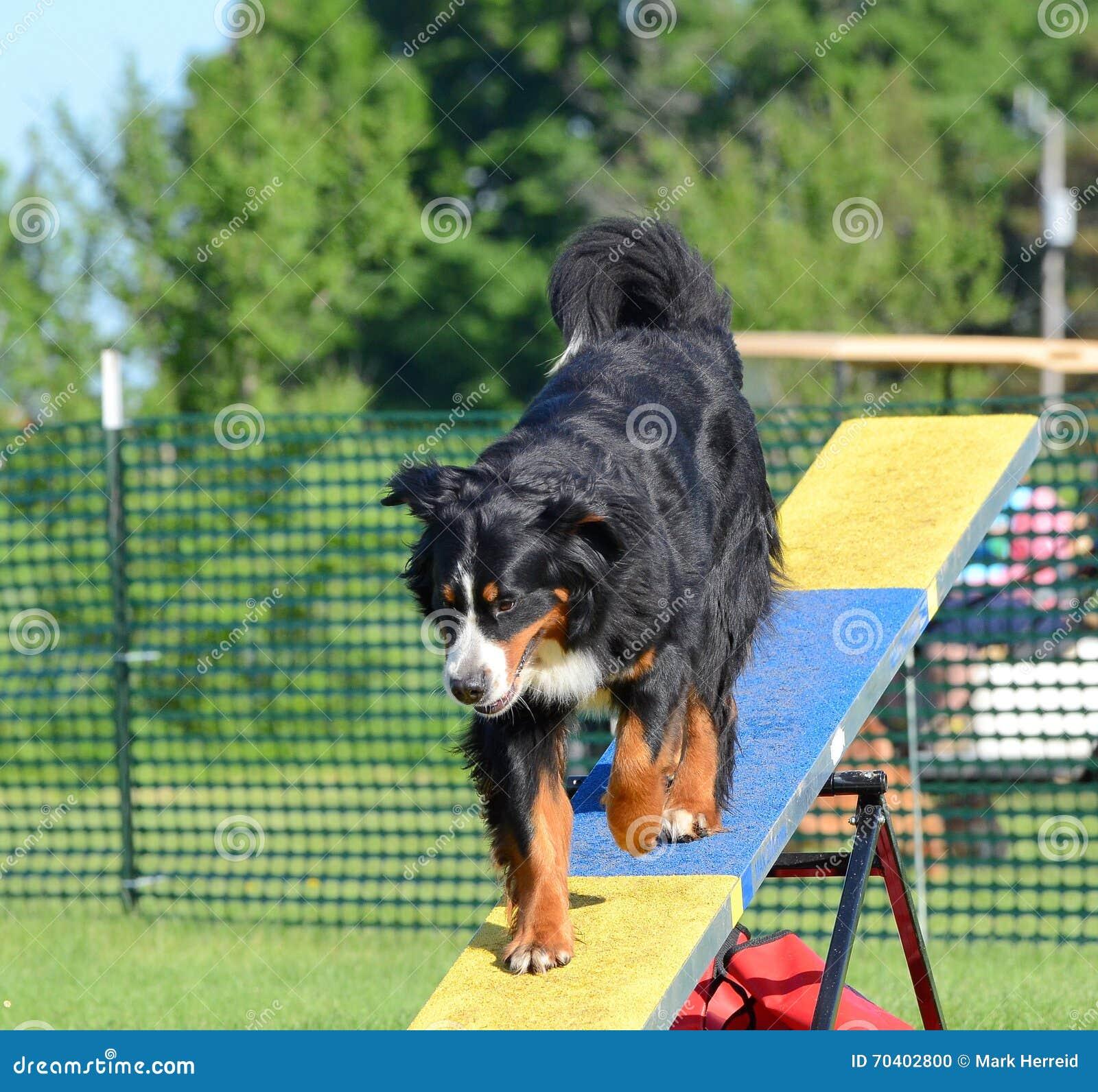 Cão de montanha de Bernese na experimentação da agilidade do cão
