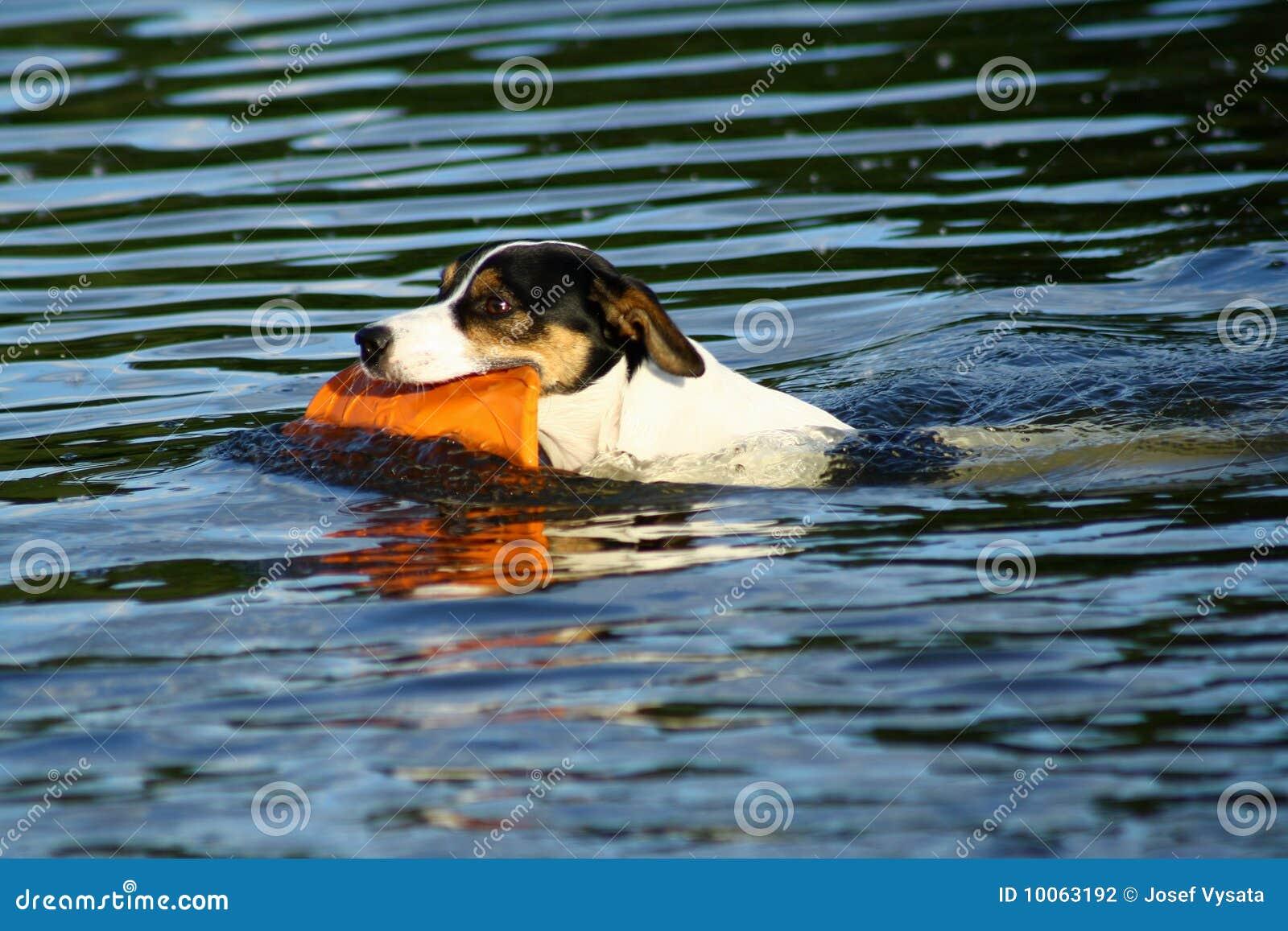 Cão de natação