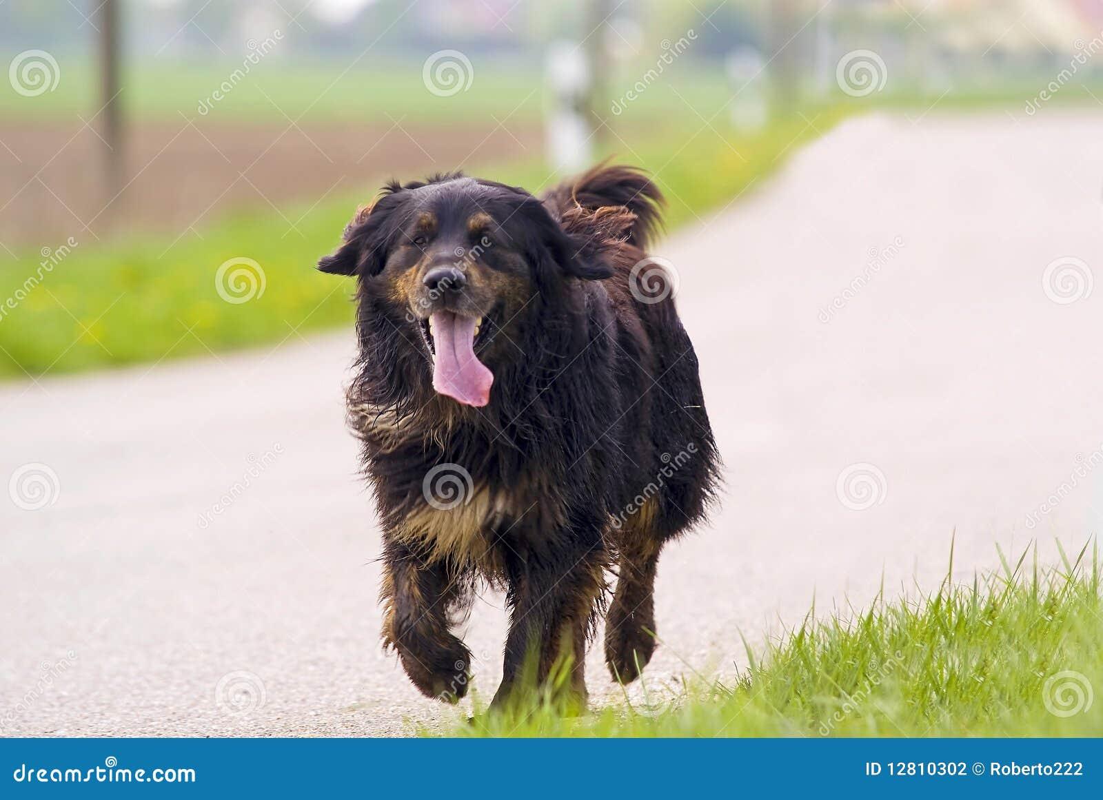 Cão de passeio