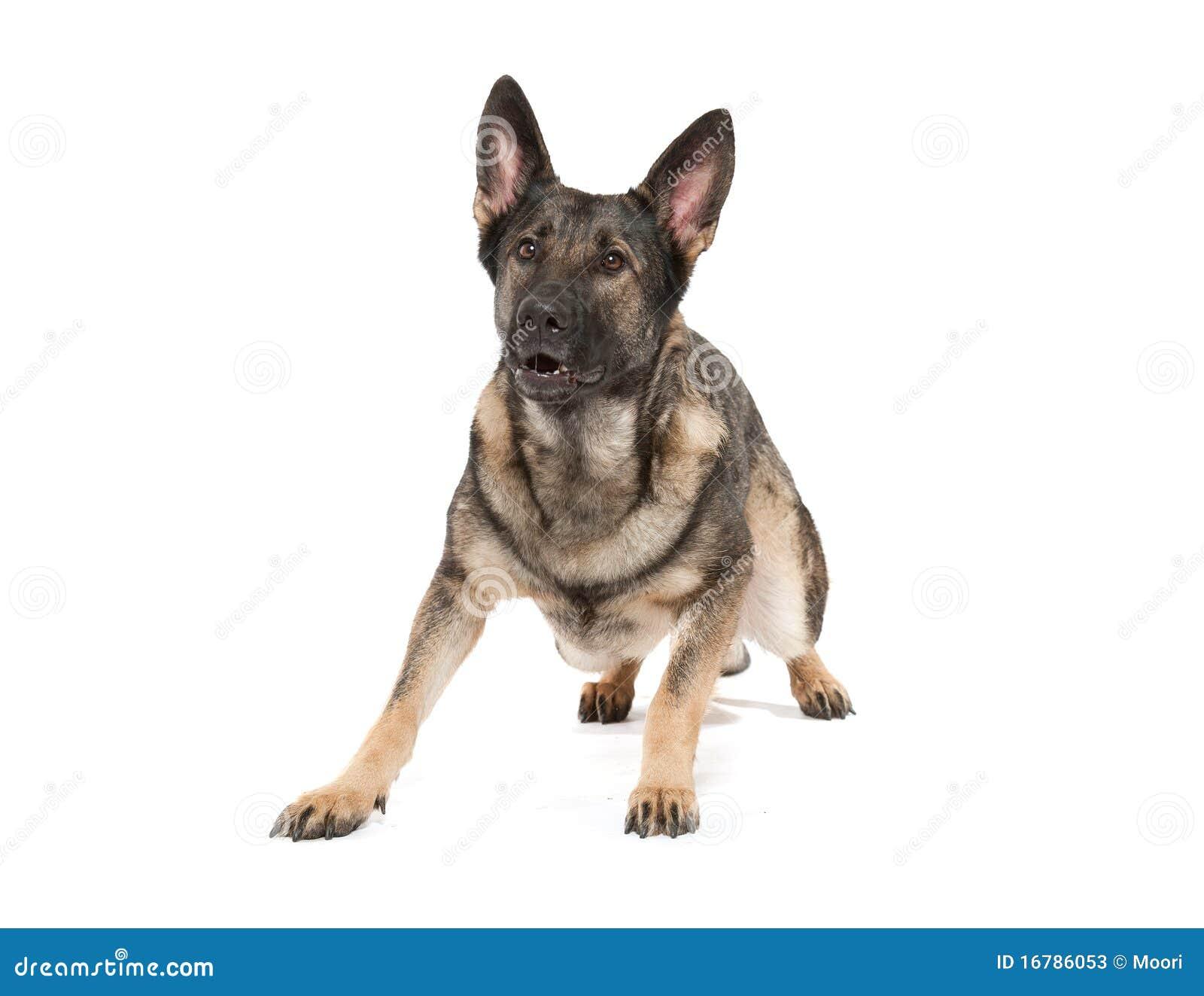 Cão de pastor alemão cinzento