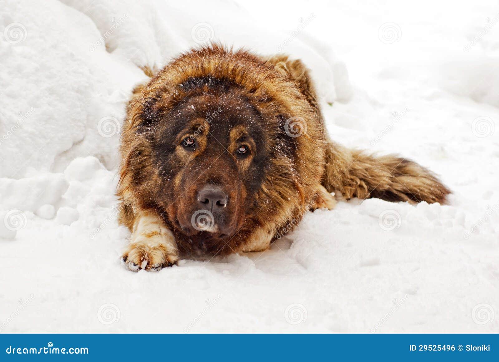 Cão de pastor caucasiano