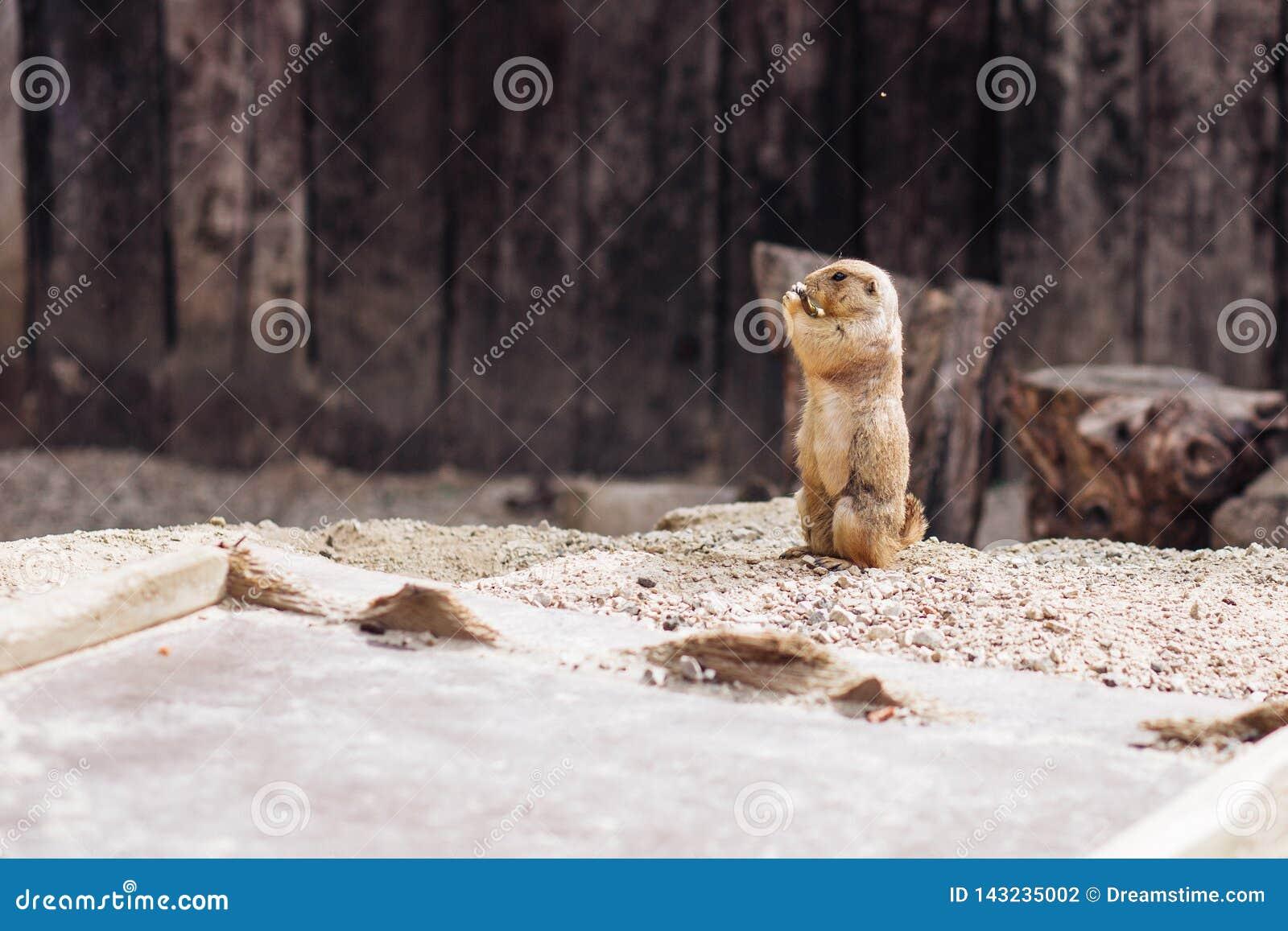 Cão de pradaria que está ereto no verão à terra