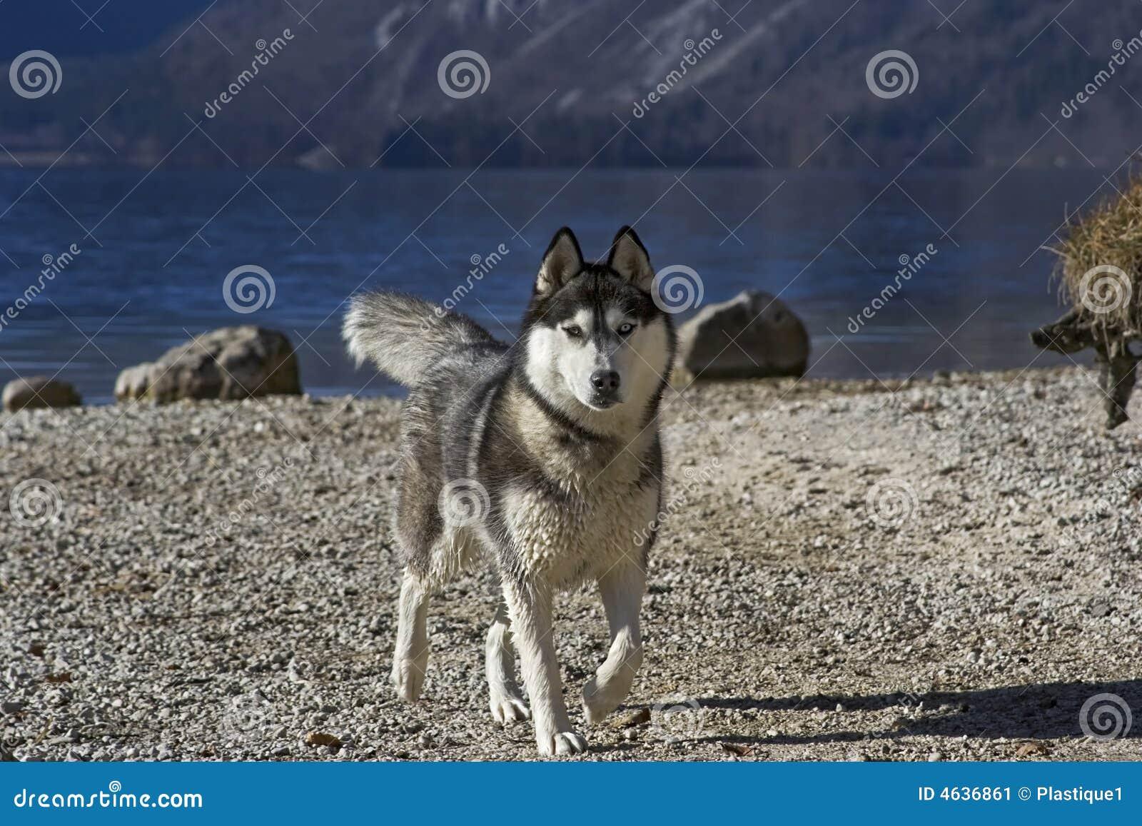 Cão de puxar trenós em um lakeshore (2)