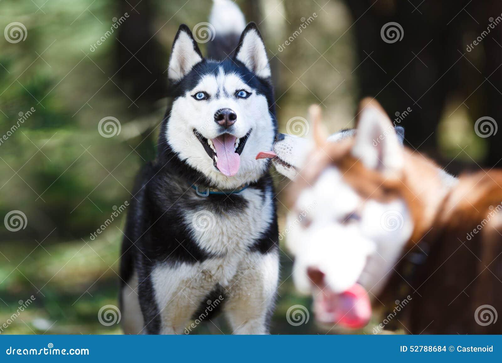 Cão de puxar trenós em uma floresta