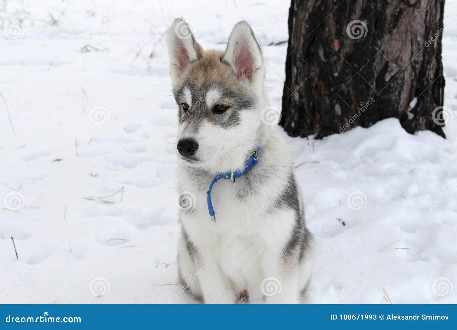 Cão de puxar trenós Siberian macio