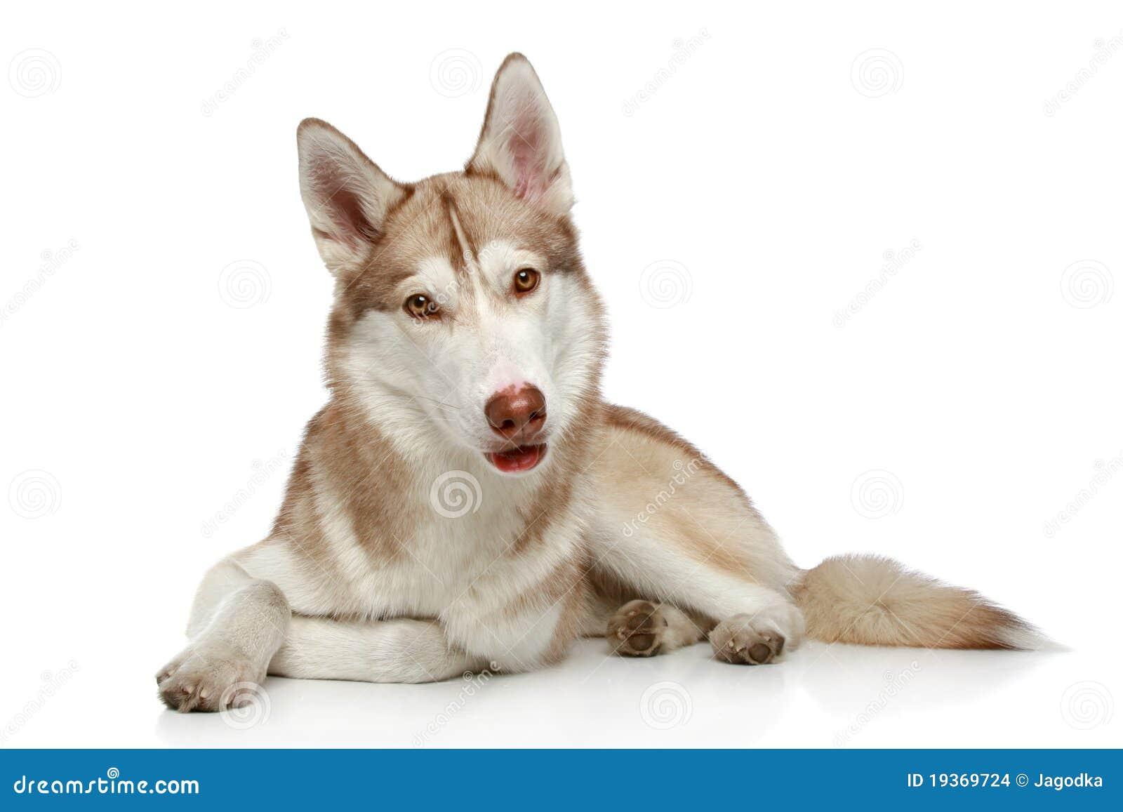 Cão de puxar trenós Siberian no branco