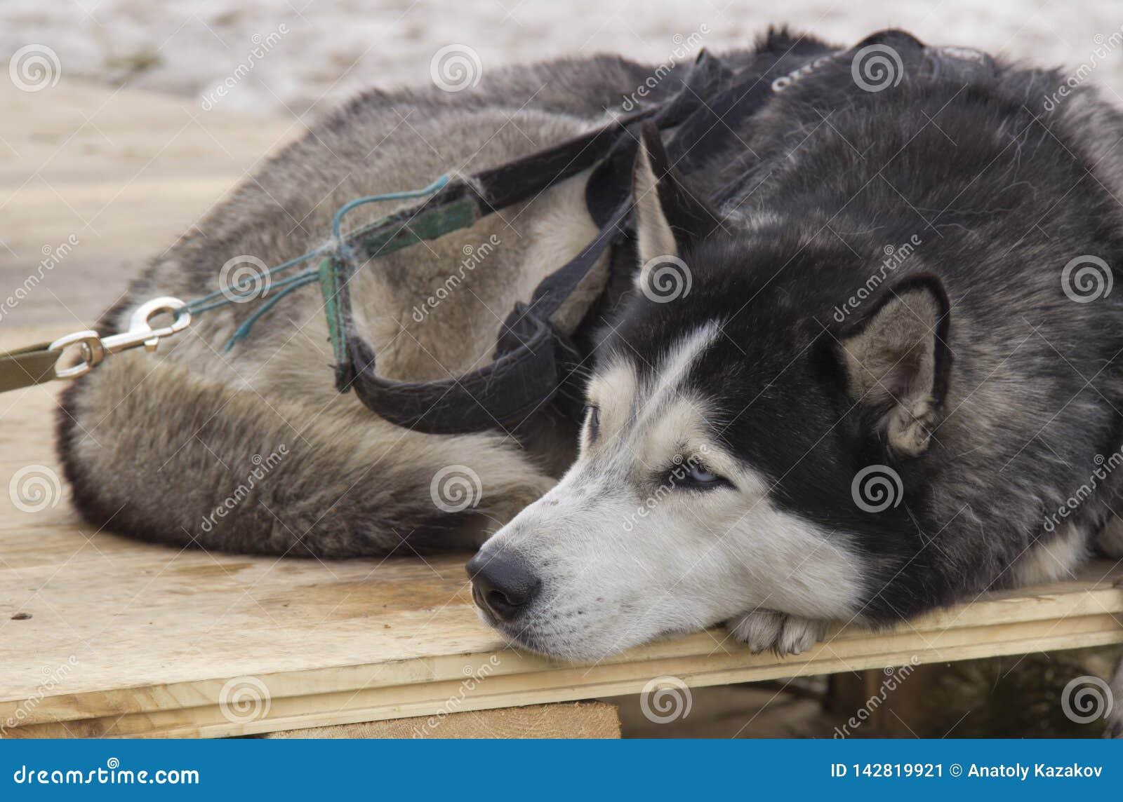 Cão de puxar trenós Siberian
