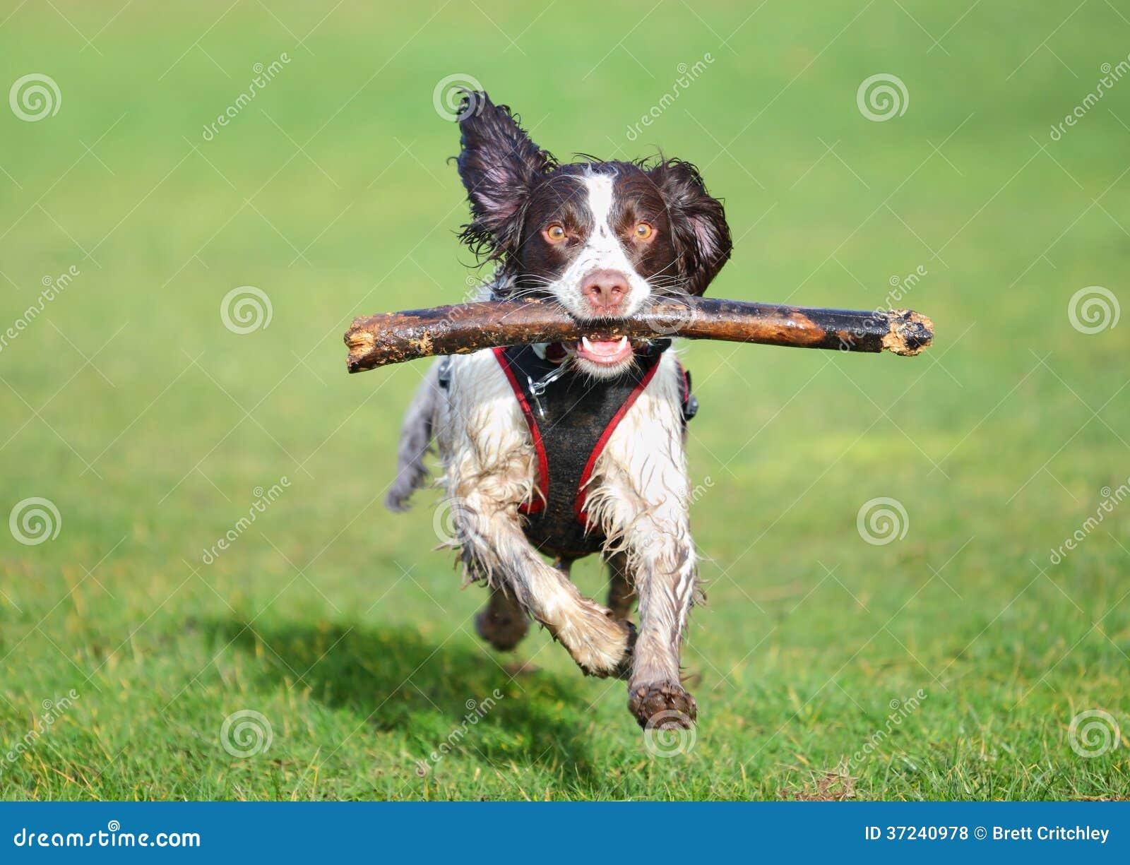 Cão de salto