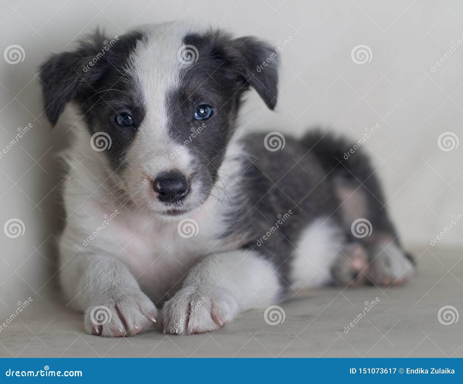 Cão de Serius que olha o cão pastor bonito border collie do retrato da câmera