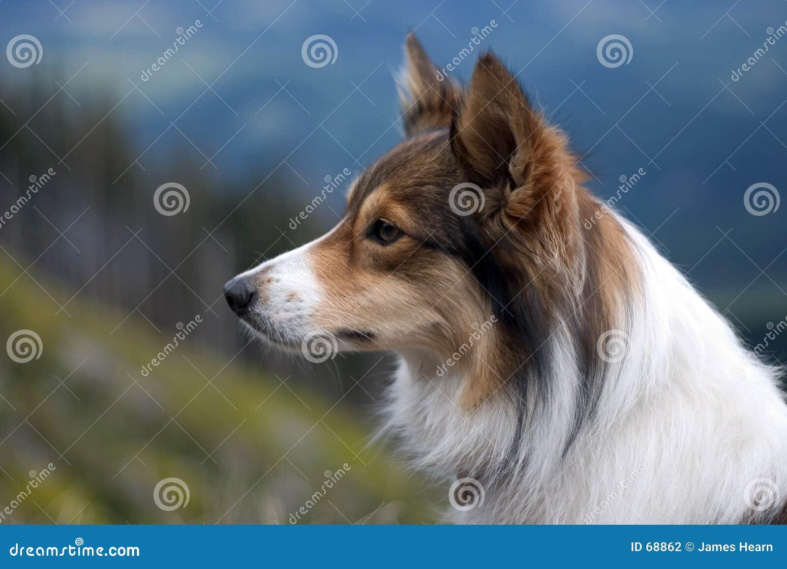 Cão de Sheltie.