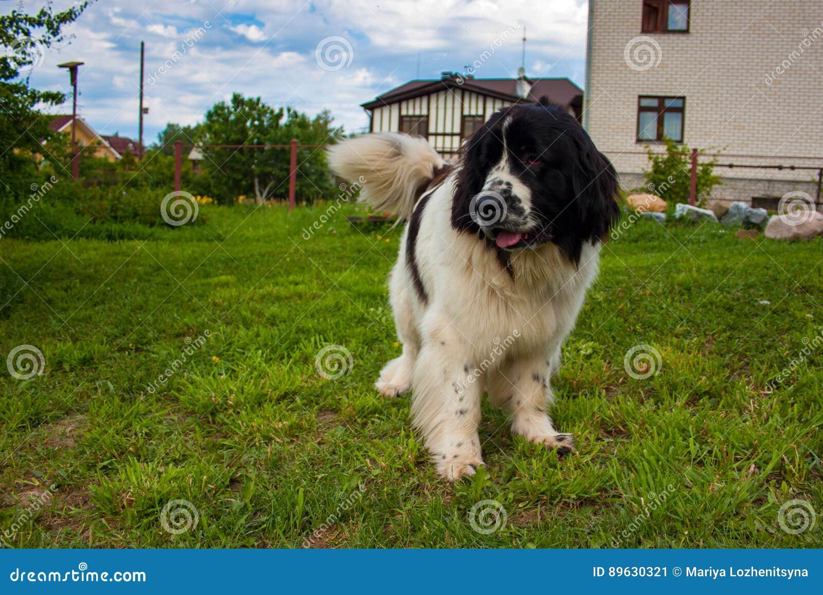 Cão de Terra Nova no quintal