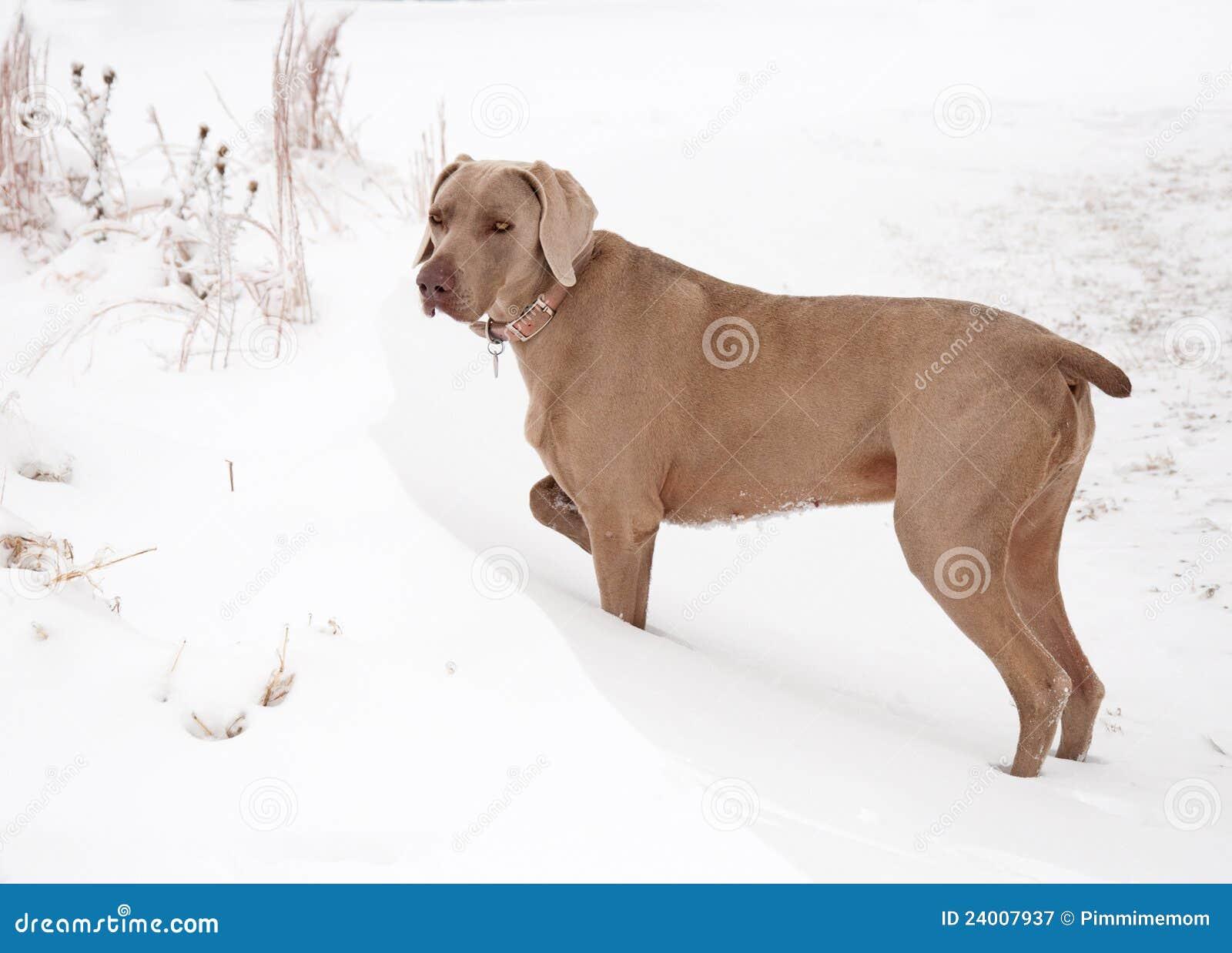 Cão de Weimaraner em um snowdrift