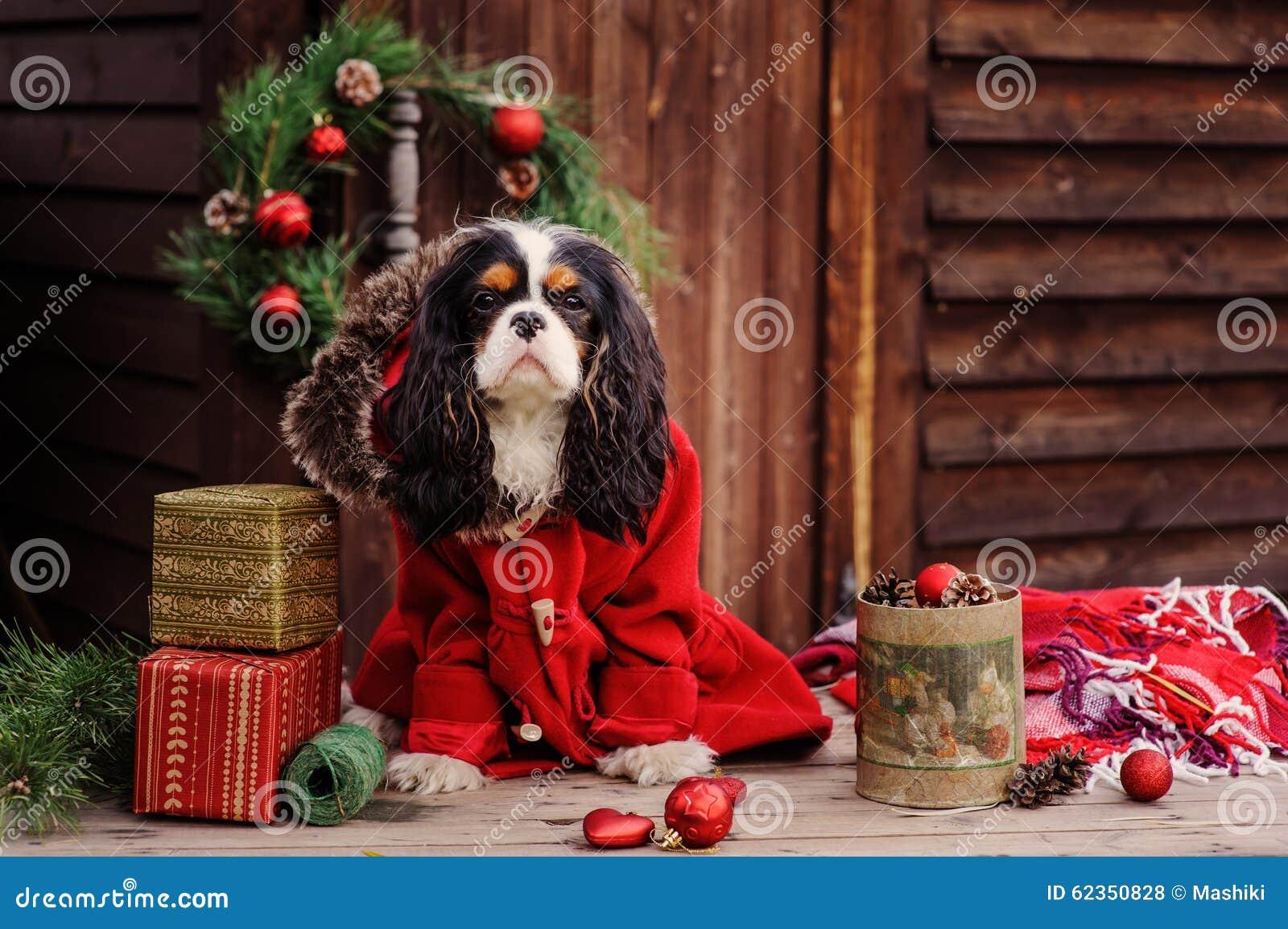 Cão descuidado bonito do spaniel de rei Charles no revestimento vermelho que comemora o Natal na casa de campo acolhedor