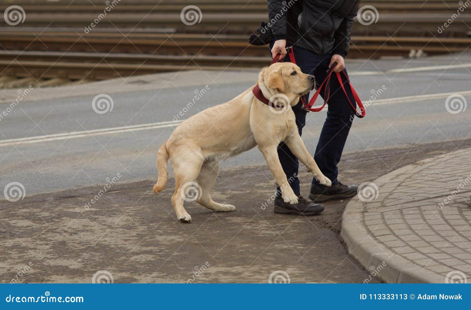 Cão desobediente - educação canina
