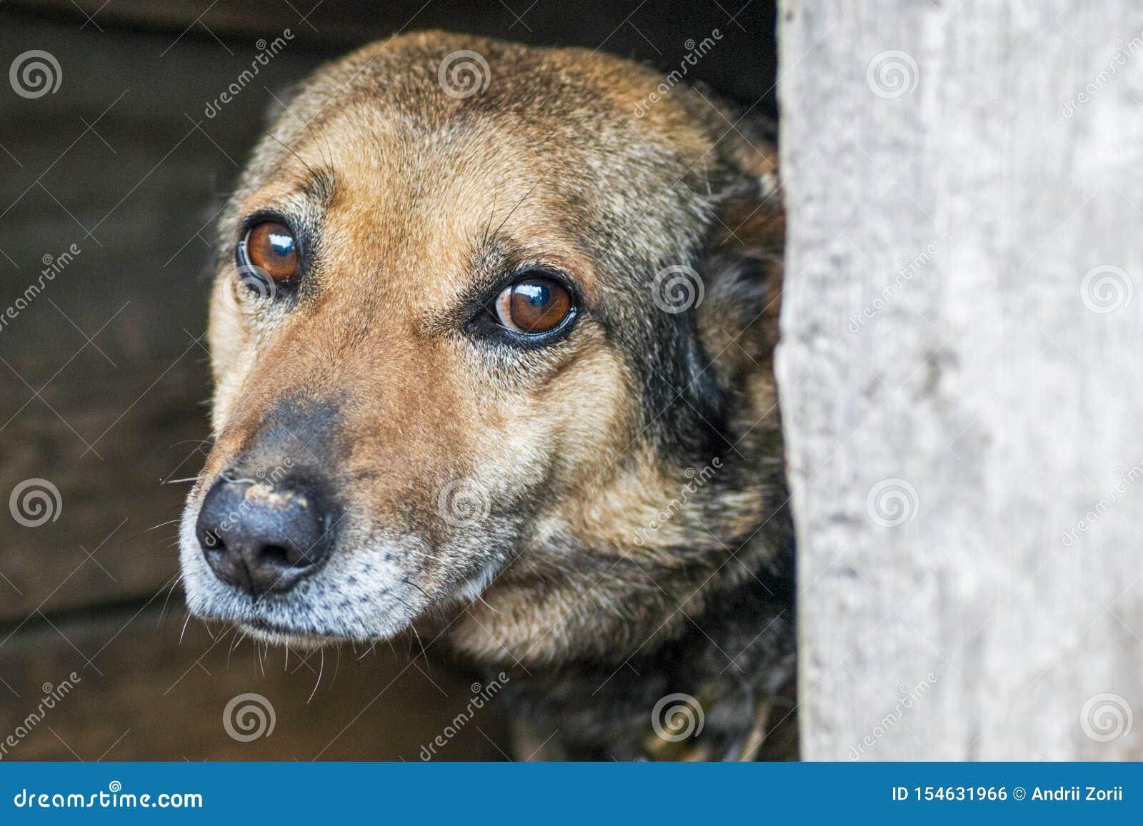 Cão disperso abandonado sem abrigo?? com os olhos espertos muito tristes O cão desabrigado olha com os olhos tristes enormes com