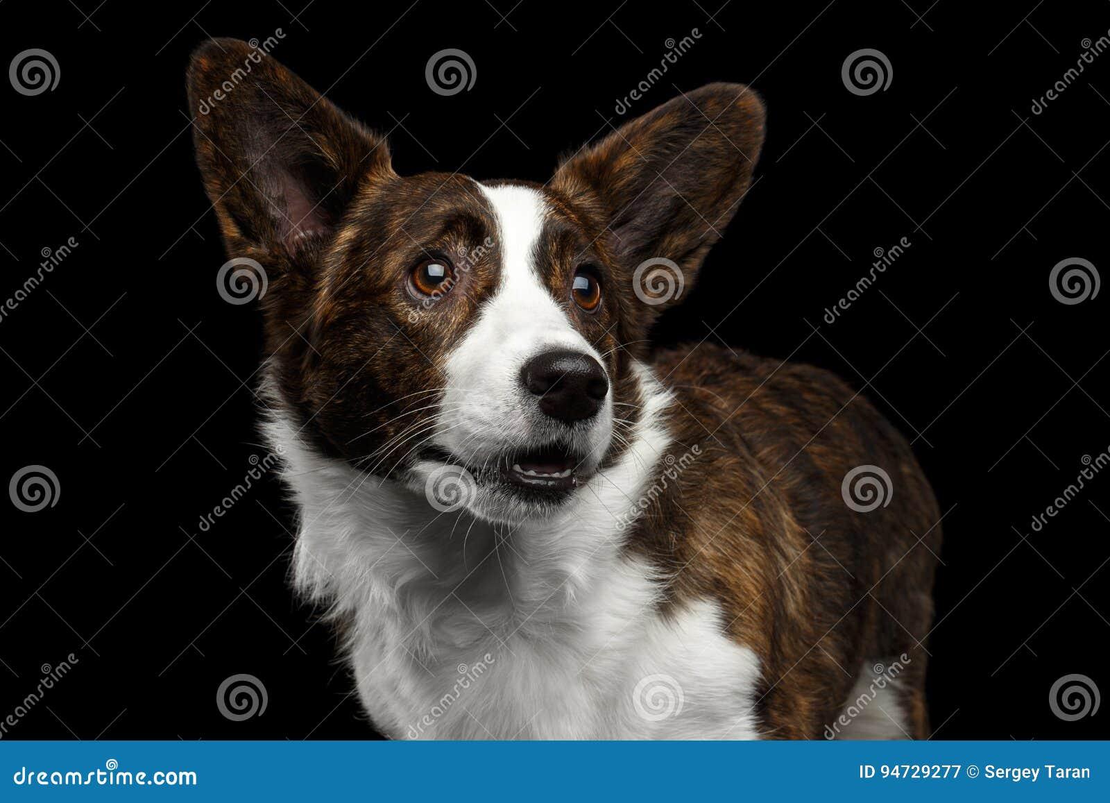 Cão do casaco de lã do Corgi de Galês no fundo preto isolado
