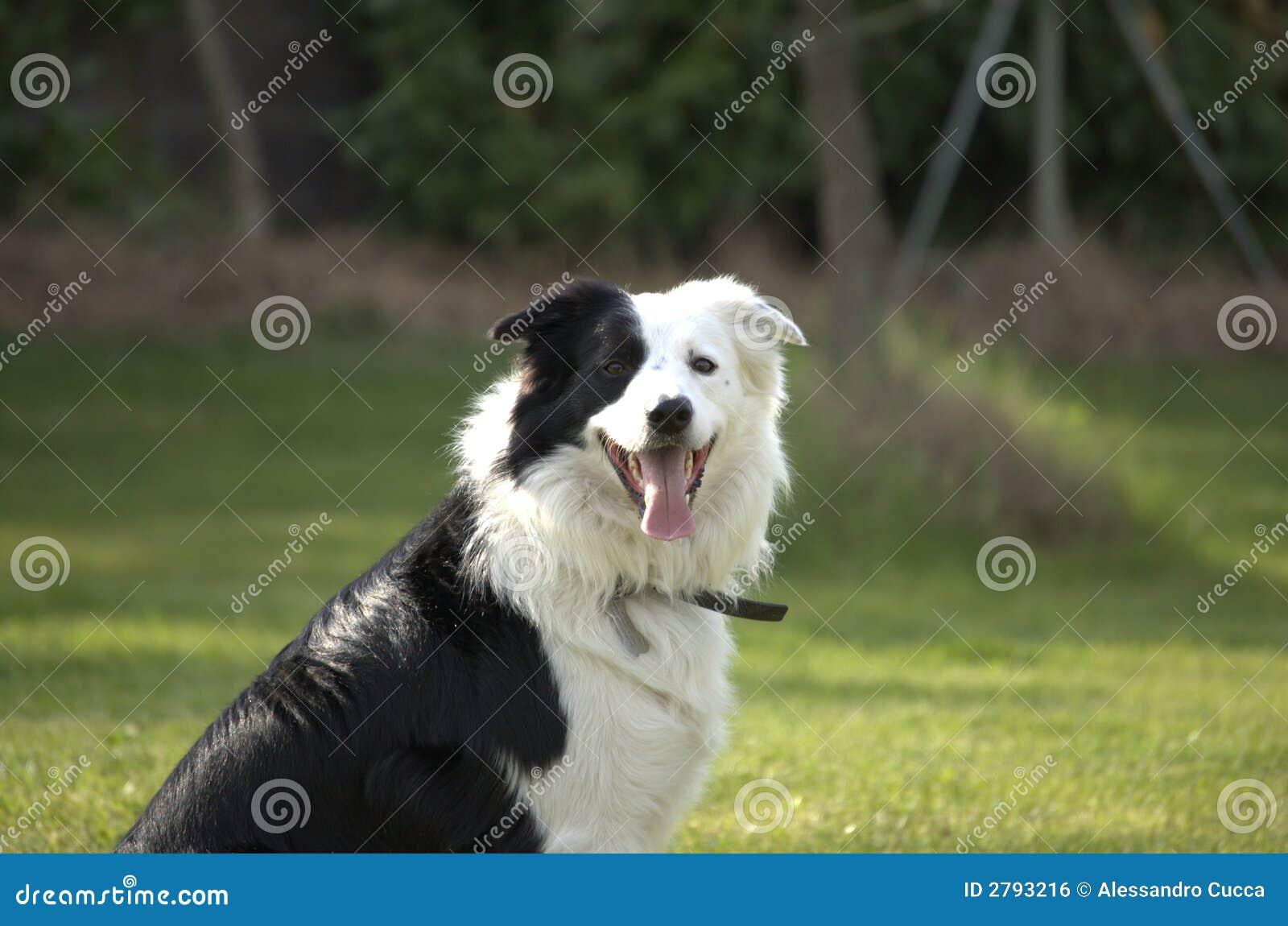 Cão do Collie de beira