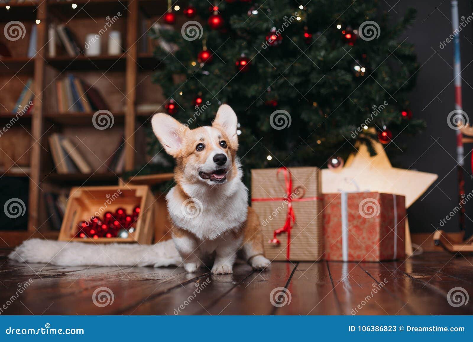 Cão do Corgi com árvore do Feliz Natal