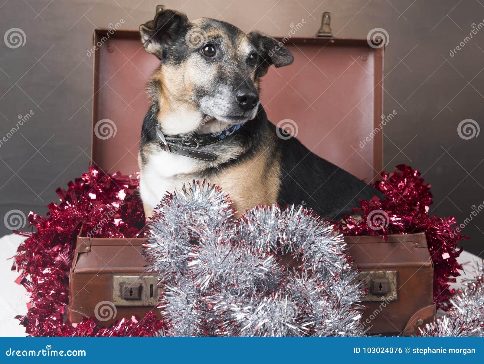 Cão do Corgi que senta-se dentro de uma mala de viagem entre o ouropel