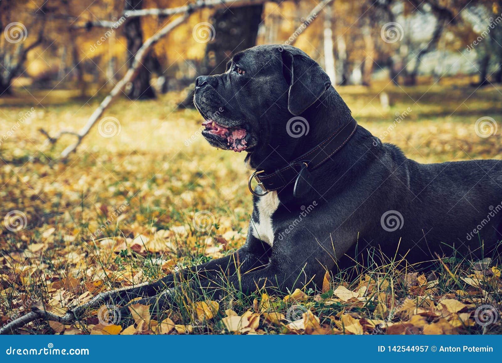Cão do corso do bastão que coloca nas folhas de outono em um parque