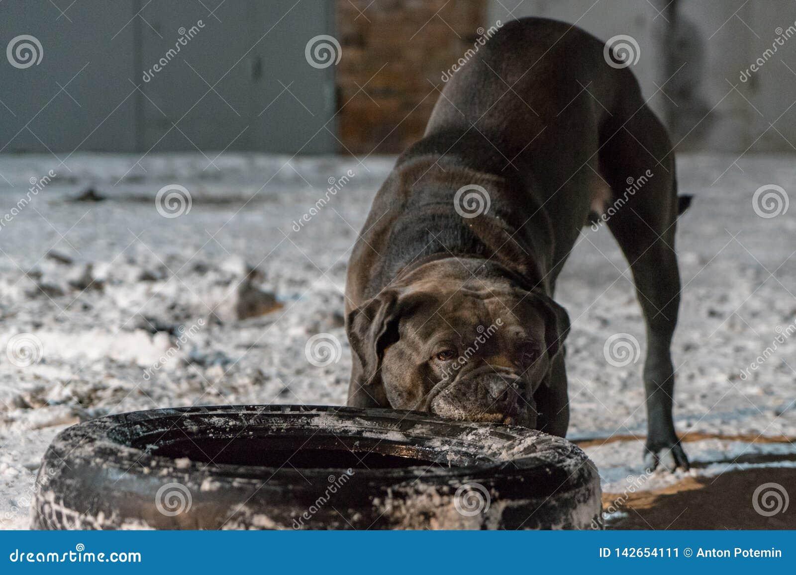Cão do corso do bastão que puxa o pneu