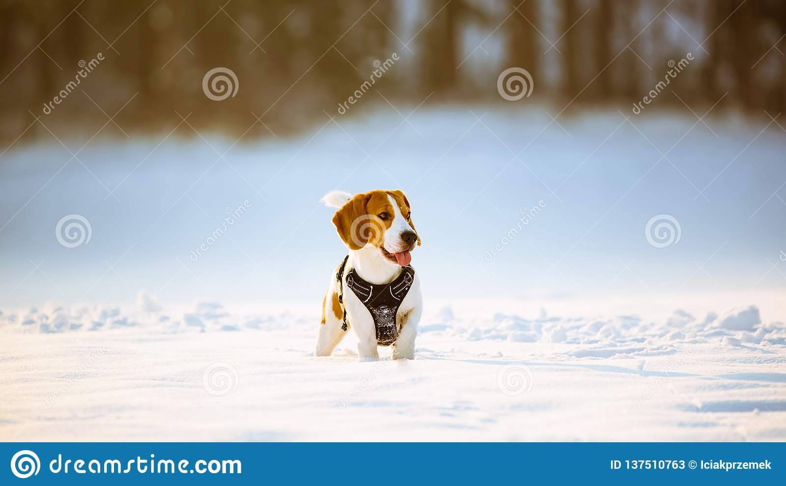 Cão do lebreiro com língua para fora no campo nevado do inverno em um dia gelado ensolarado
