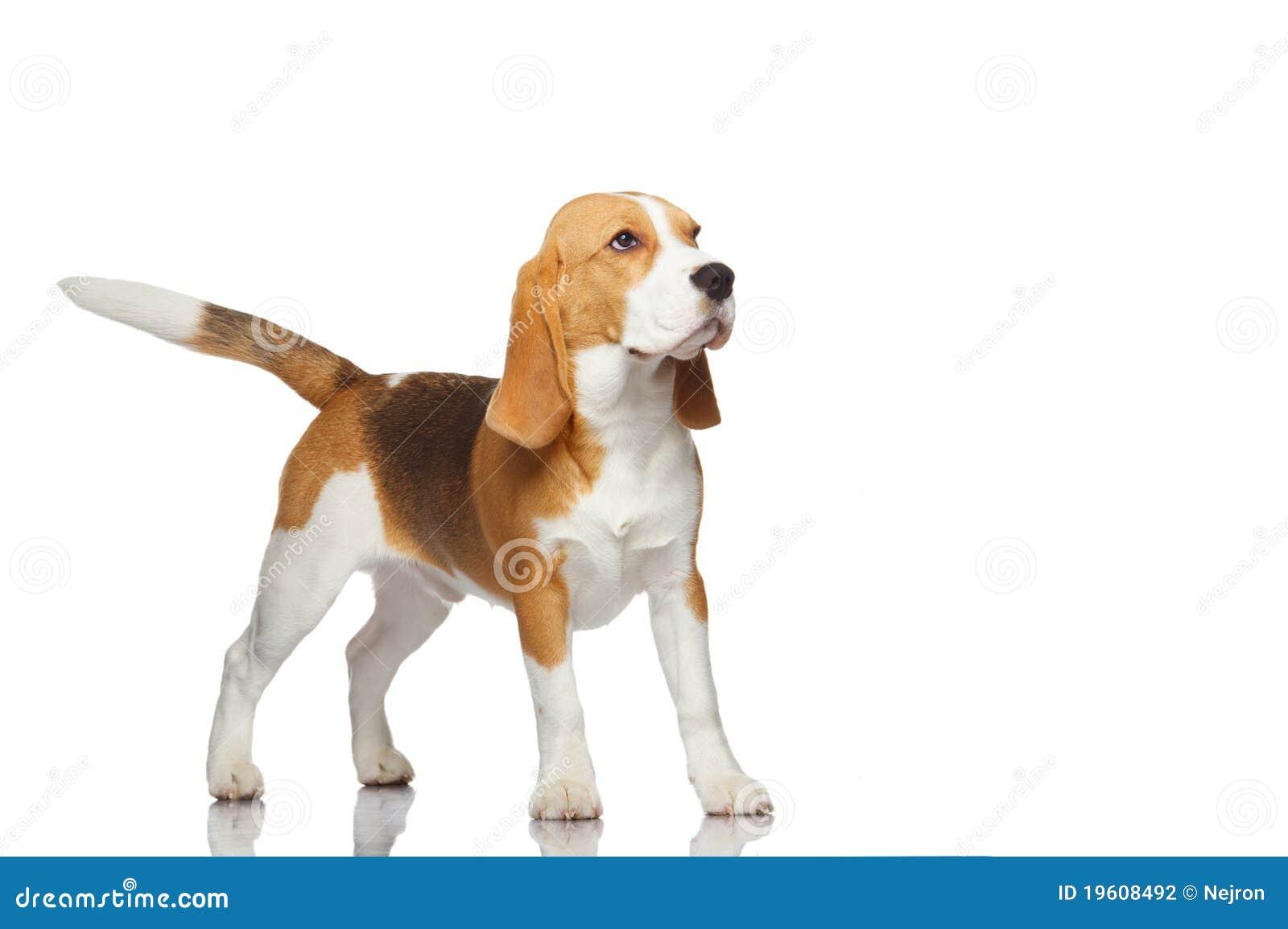 Cão do lebreiro isolado no fundo branco.