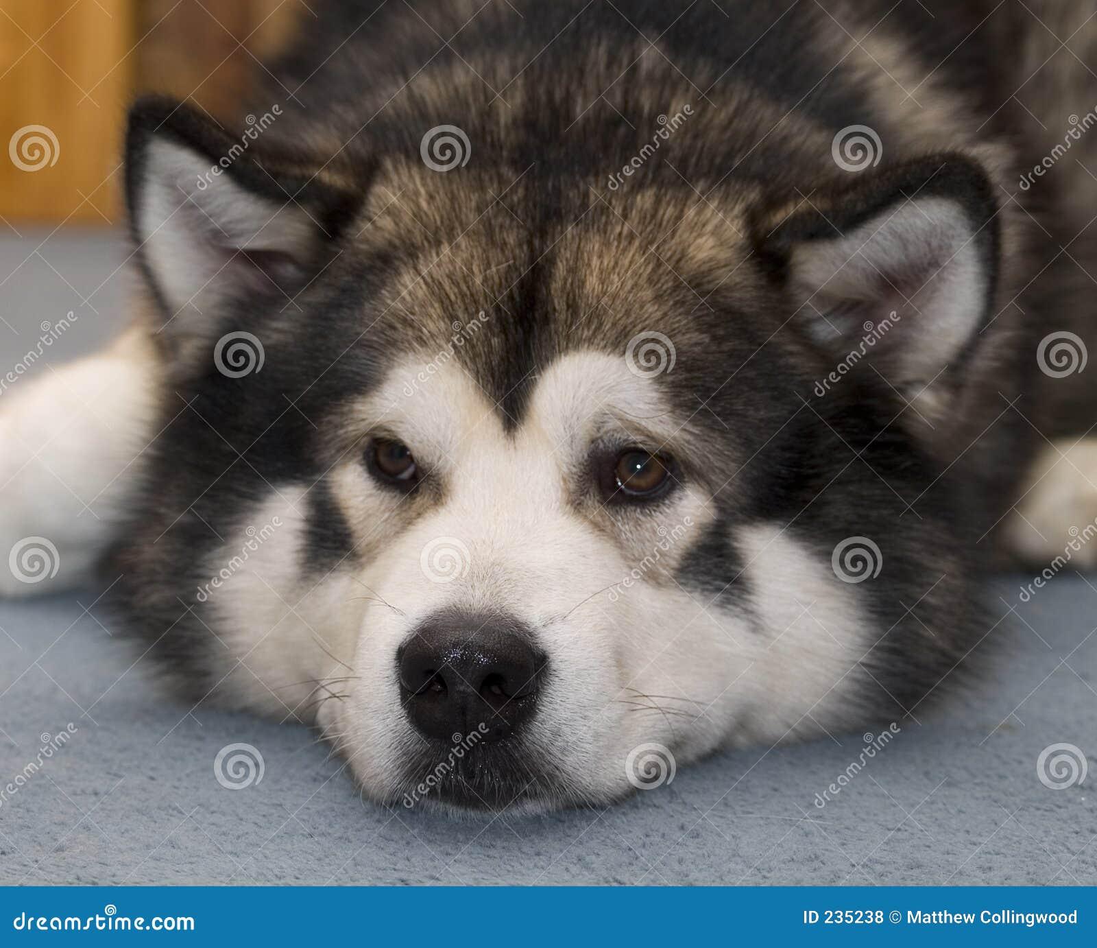 Cão do Malamute do Alasca