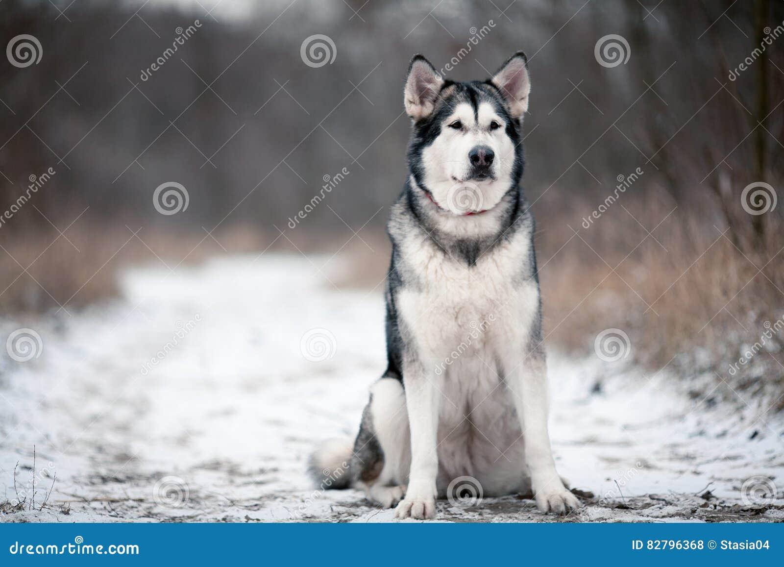 Cão do malamute do Alasca que senta-se na neve