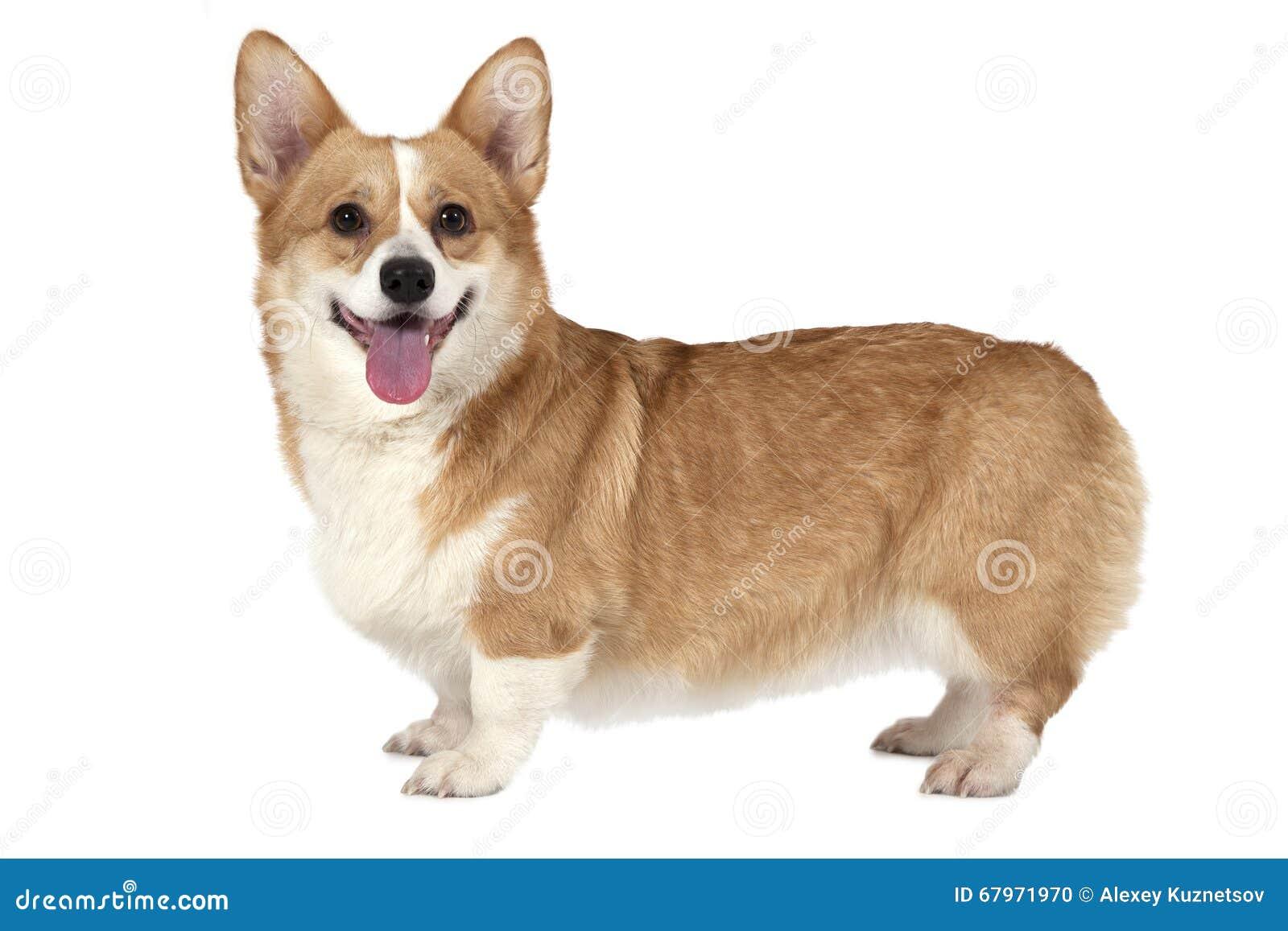Cão do Pembroke do Corgi de Galês
