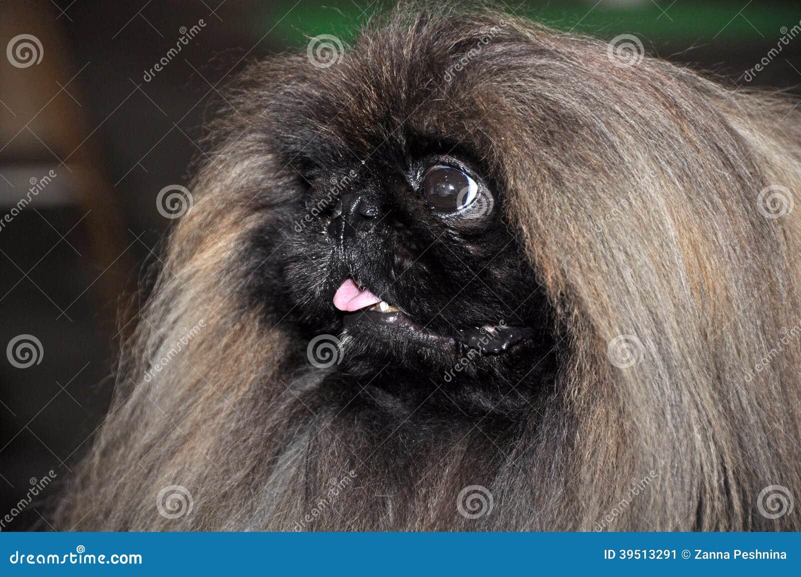 Cão do pequinês